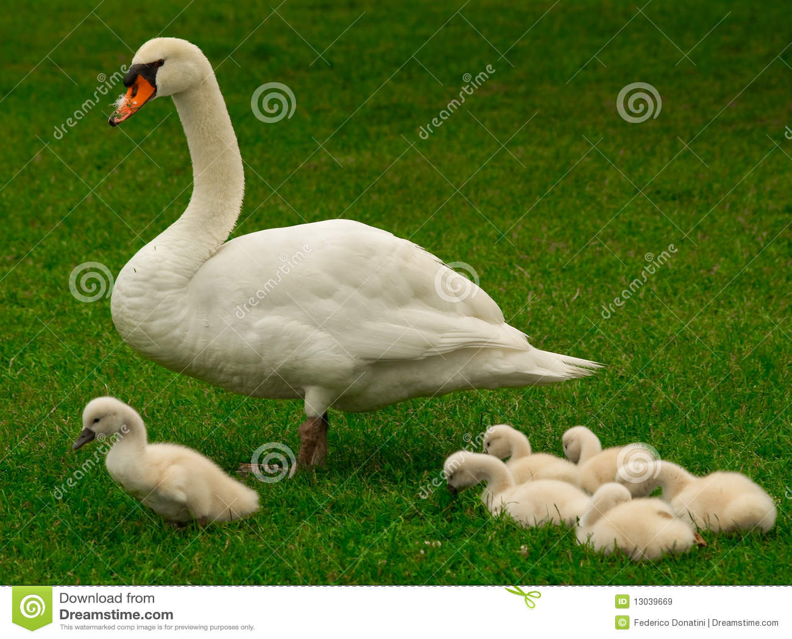La famille de cygne