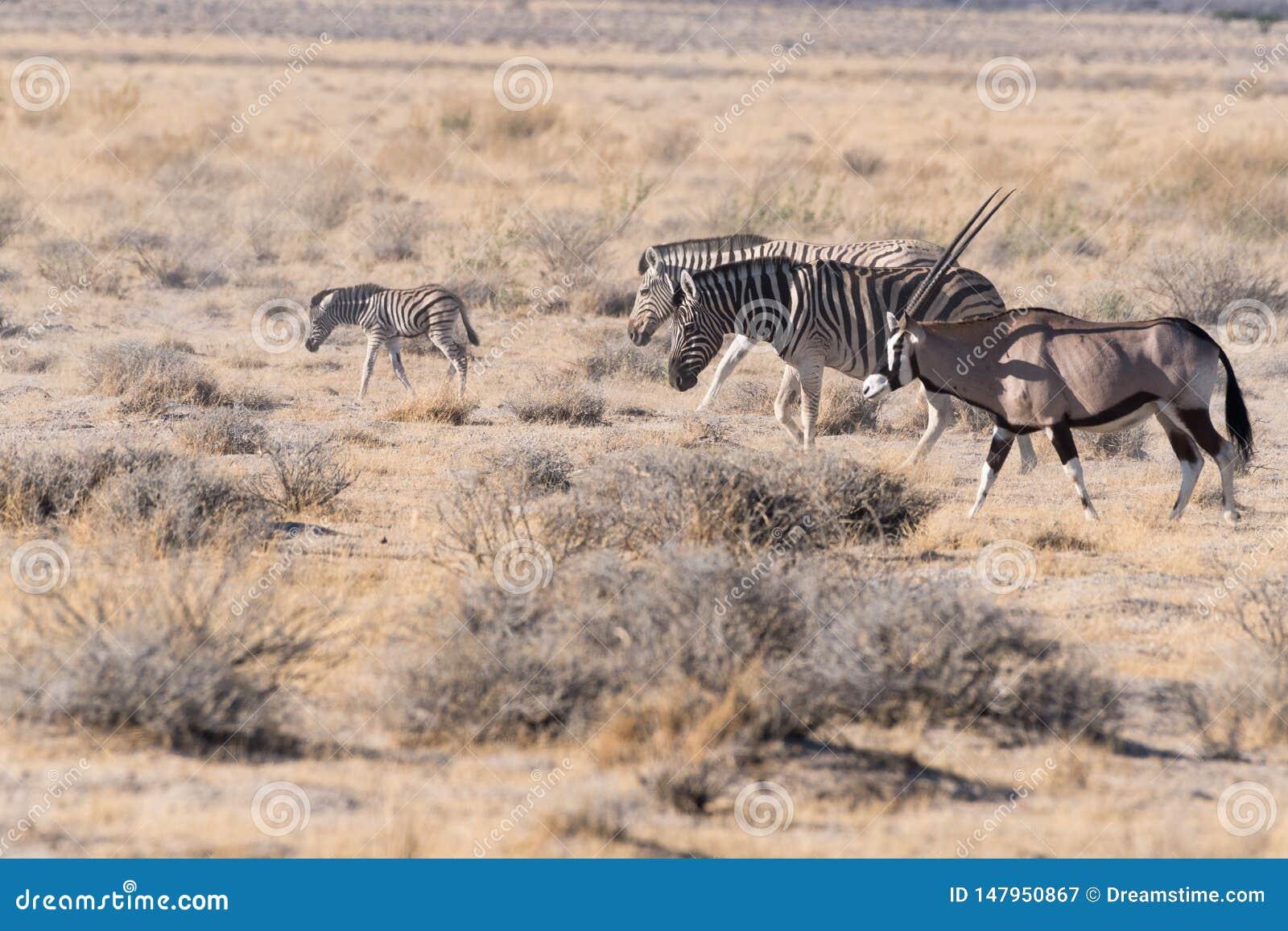 La famille de zèbre font un tour avec un oryx en parc national d Etosha, Namibie