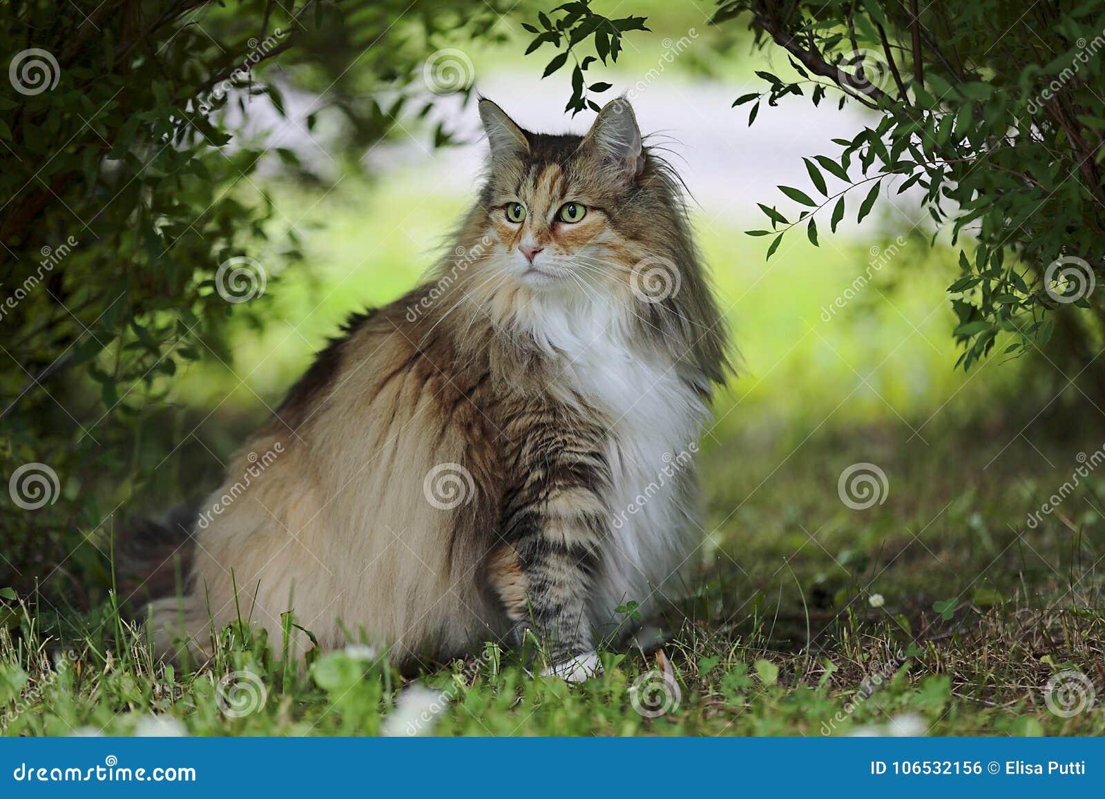 La femmina norvegese del gatto della foresta si siede for Gatto della foresta norvegese