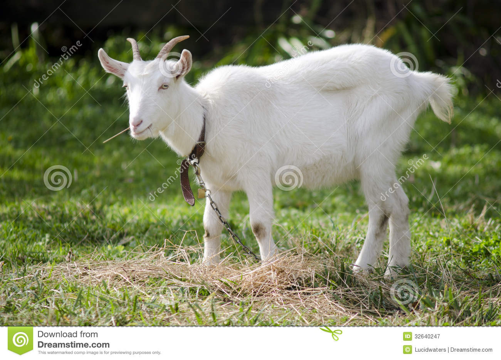La ferme d 39 animaux ch vre photographie stock libre de - Images d animaux de la ferme ...