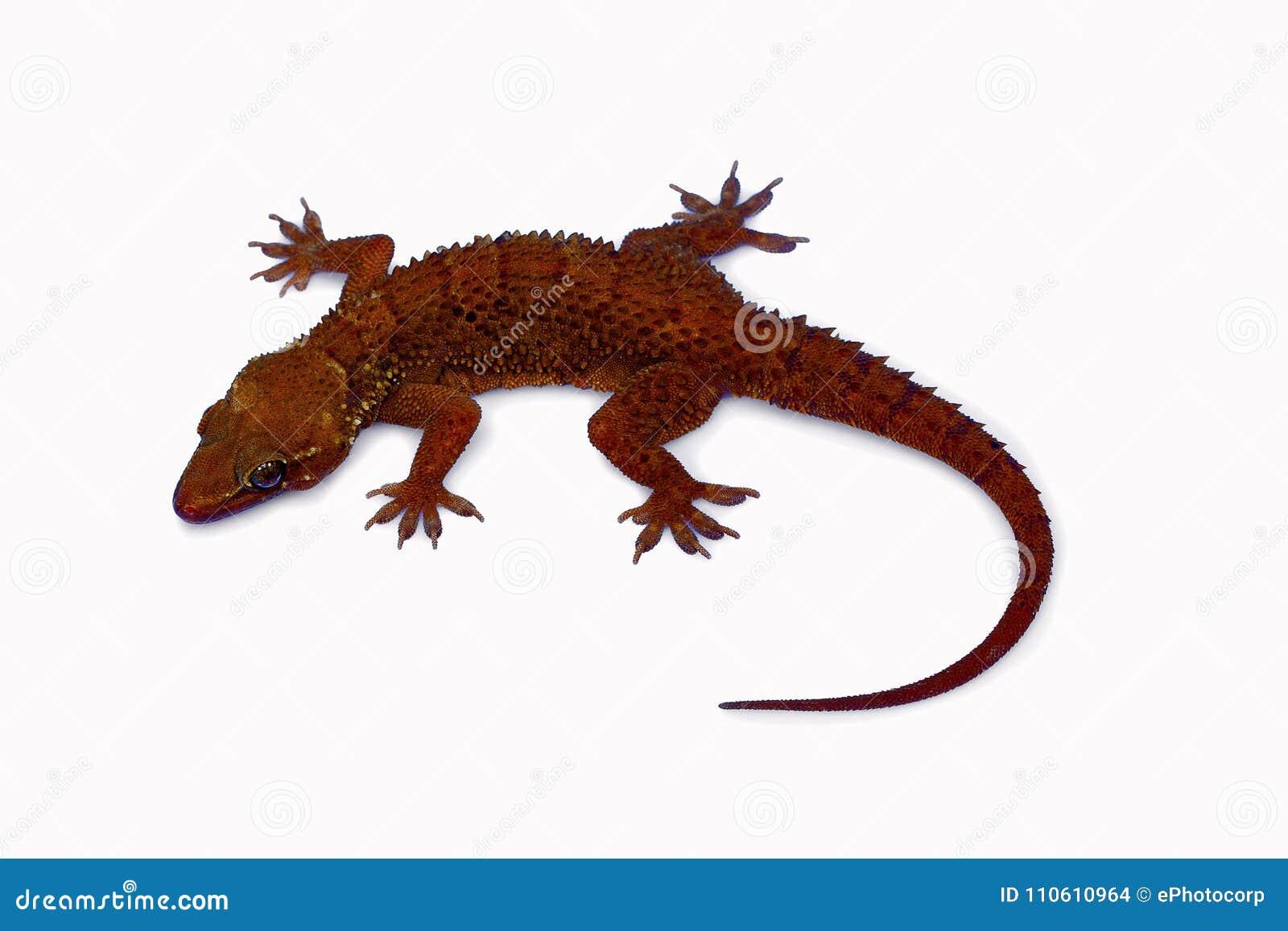 La feuille a botté le gecko avec la pointe du pied, parvimaculatus de Hemidactylus, réserve naturelle de Bhoramdeo, Chhattisgarh