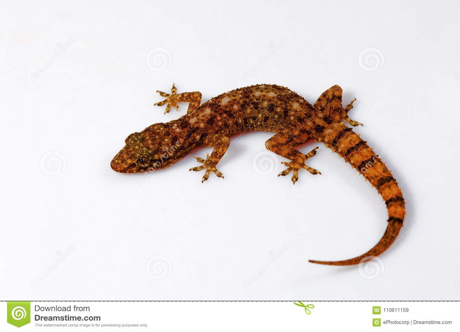La feuille a botté le gecko avec la pointe du pied, parvimaculatus de Hemidactylus, Udanti Tiger Reserve, Chhattisgarh