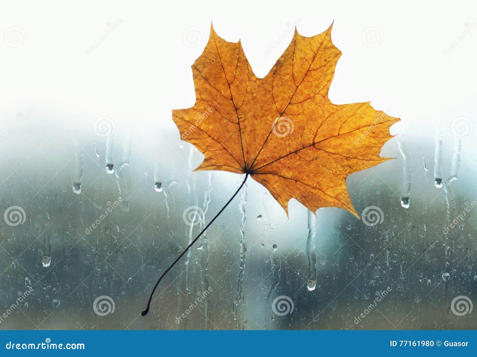 La feuille d érable jaune a collé pour mouiller le vitrail avec les baisses de pluie