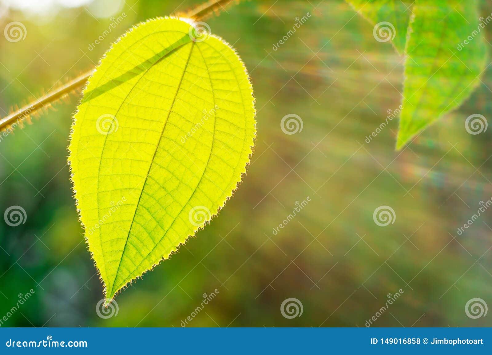 La feuille verte avec le rayon du soleil sur la nature de bokeh a brouill?
