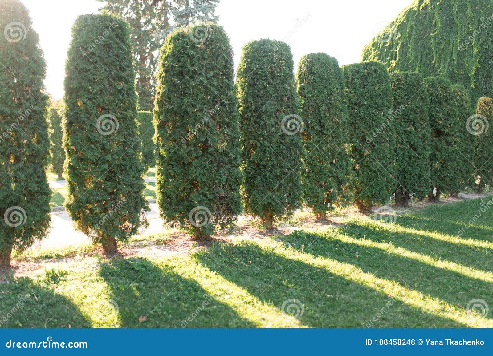sprzedaż całkiem fajne style mody La Fila De Los árboles Grandes Del Thuja Se Coloca En Una ...