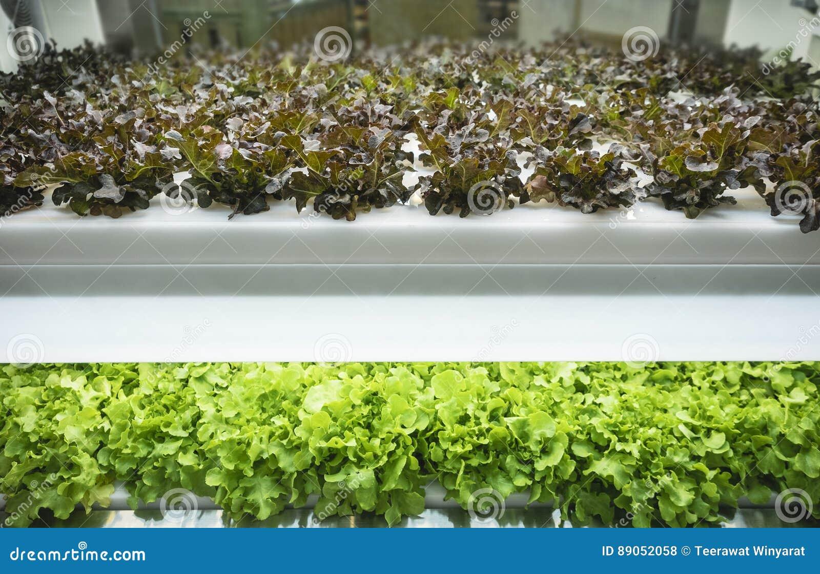 La fila della pianta delle verdure della serra si sviluppa con l agricoltura dell interno leggera principale dell azienda agricol