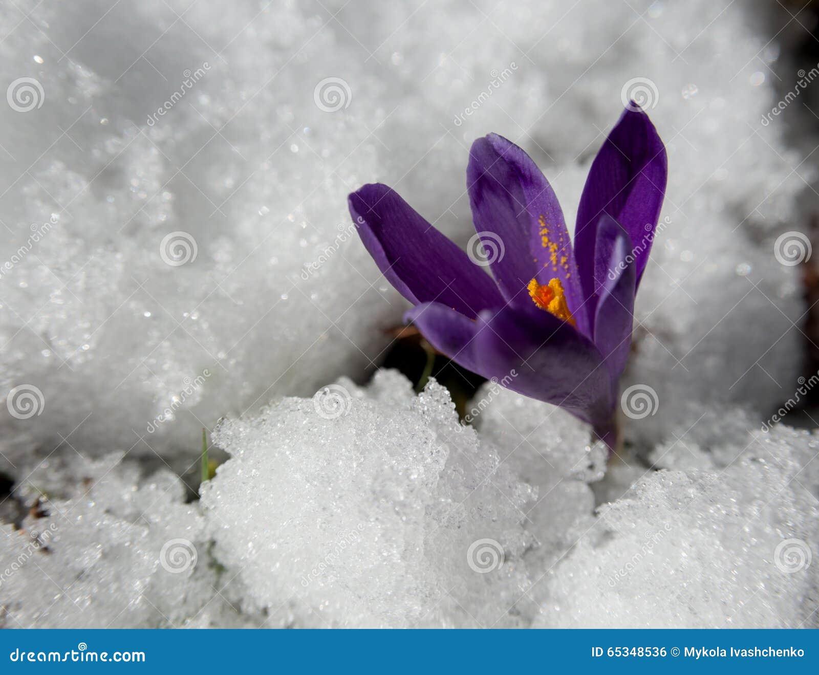 La fin de l 39 hiver fleur de crocus photo stock image 65348536 - Fleurs de cimetiere pour l hiver ...