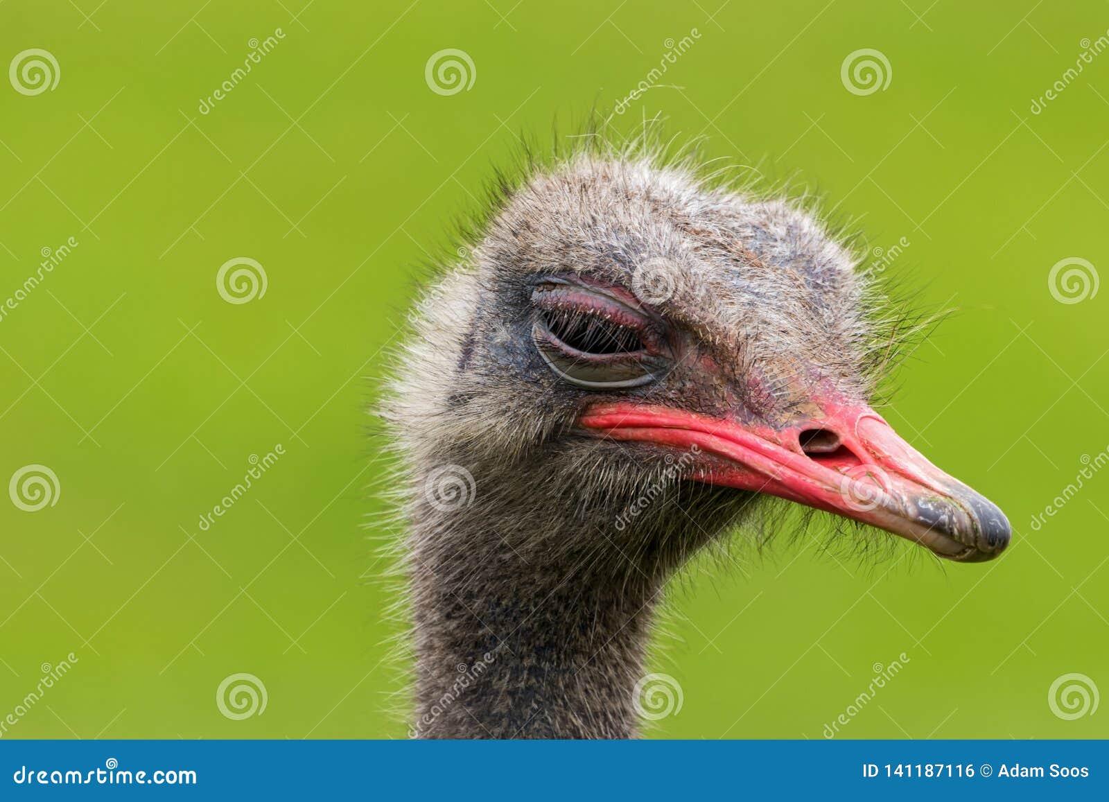 La fin fâchée d autruche vers le haut du portrait, se ferment vers le haut du camelus de Struthio de tête d autruche