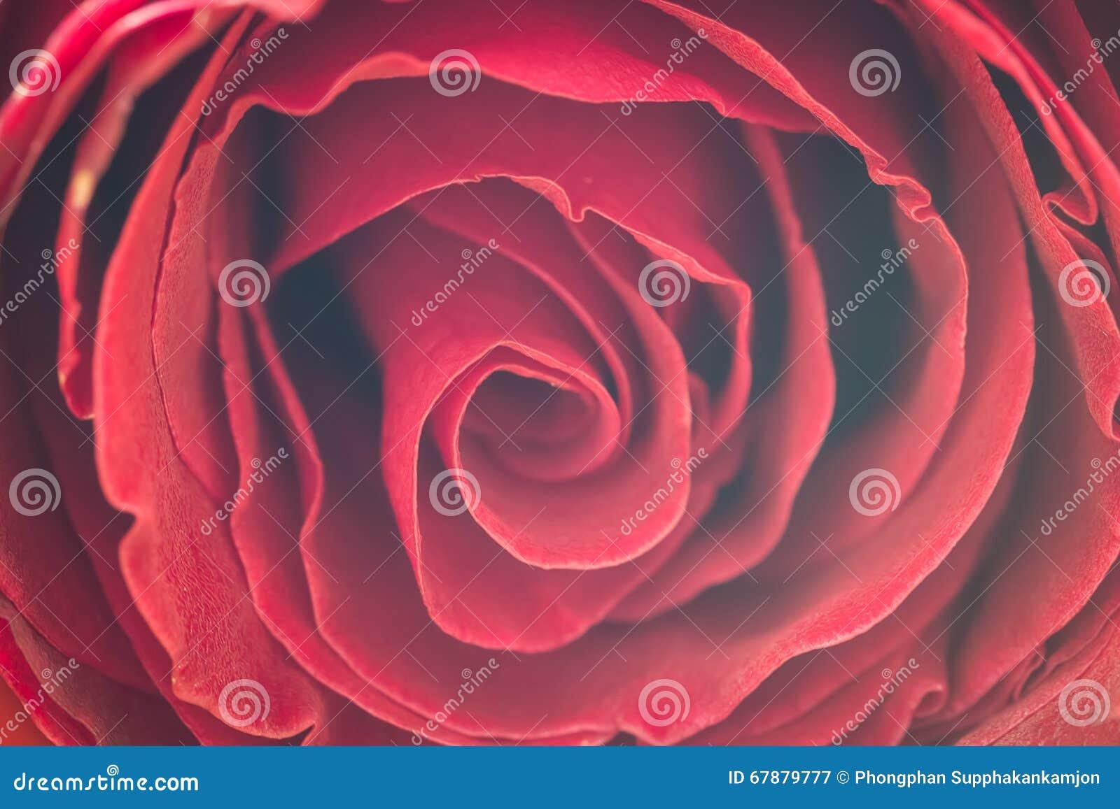 La fine su delle rose fresche, fuoco selettivo