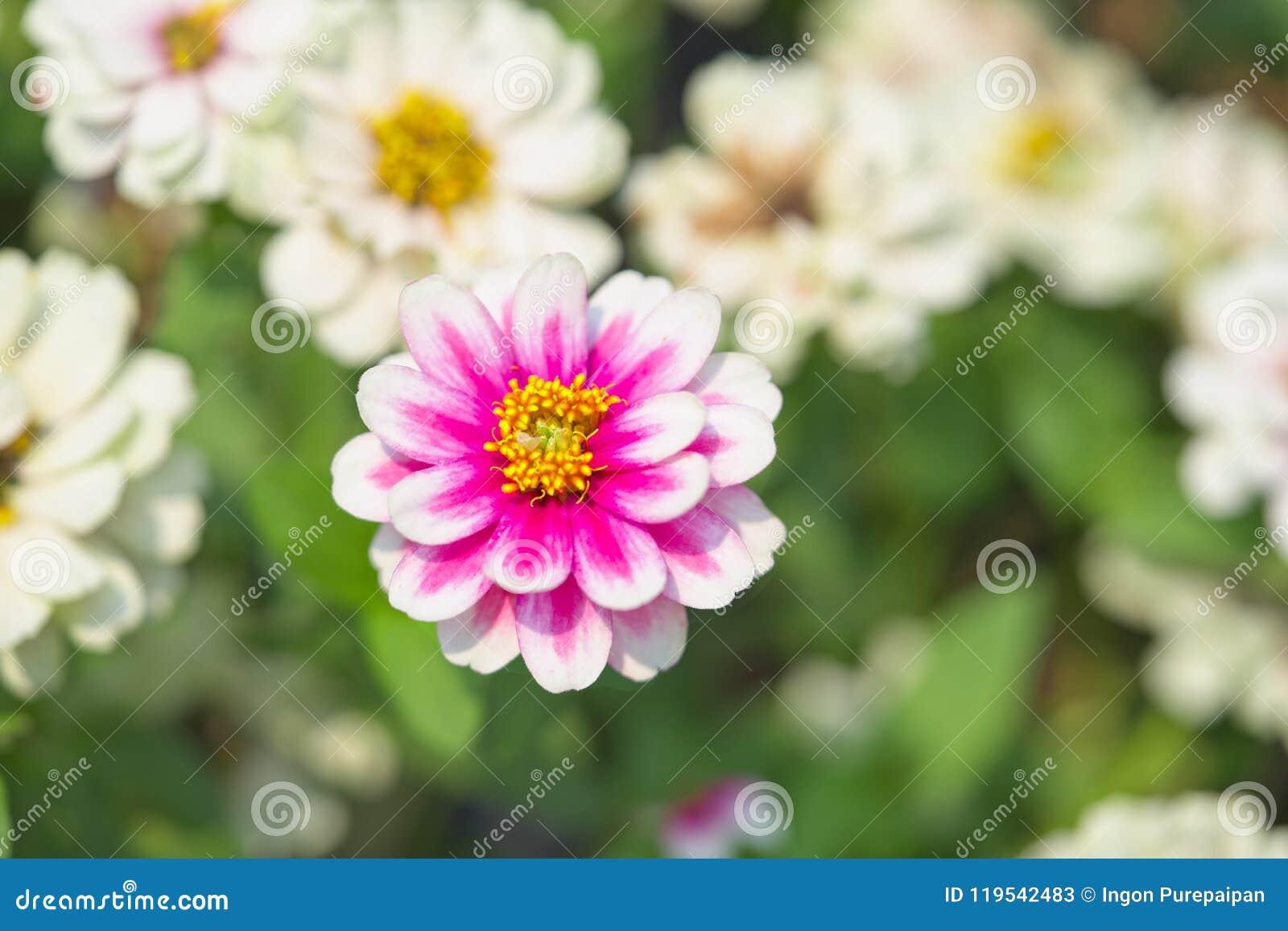 La fine su un grande fiore del fiore rosa e bianco, foglie verdi sta circondando il fiore