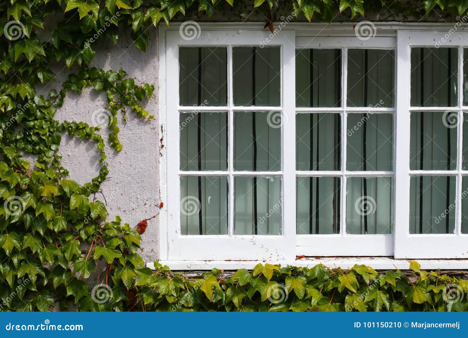 La finestra bianca con l 39 edera verde di strisciamento va al sole fotografia stock immagine di - La finestra verde giugliano ...