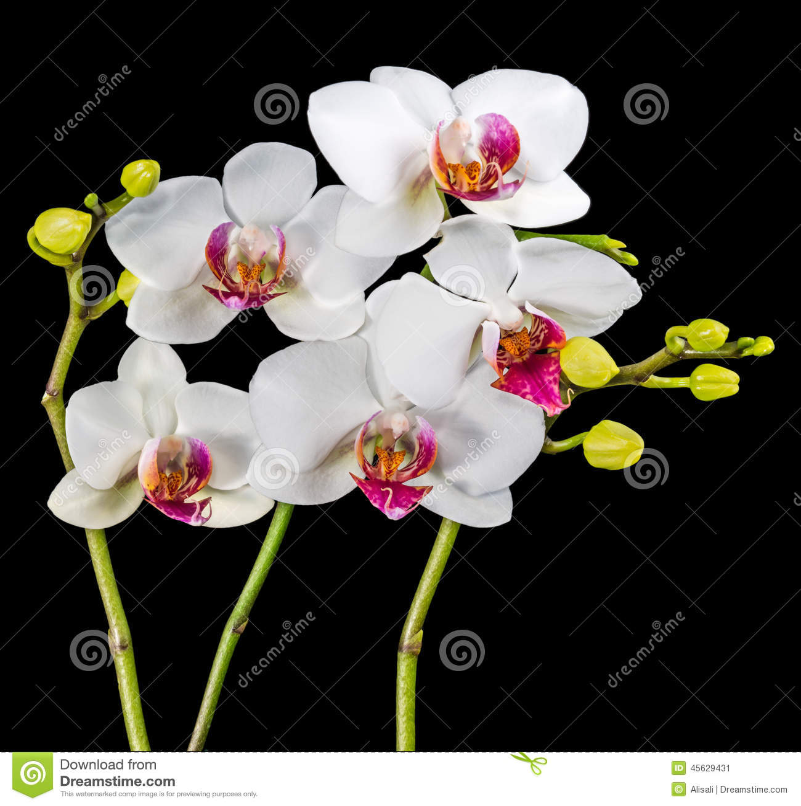 La fioritura si ramifica spirito bianco e rosso del fiore for Orchidea fioritura