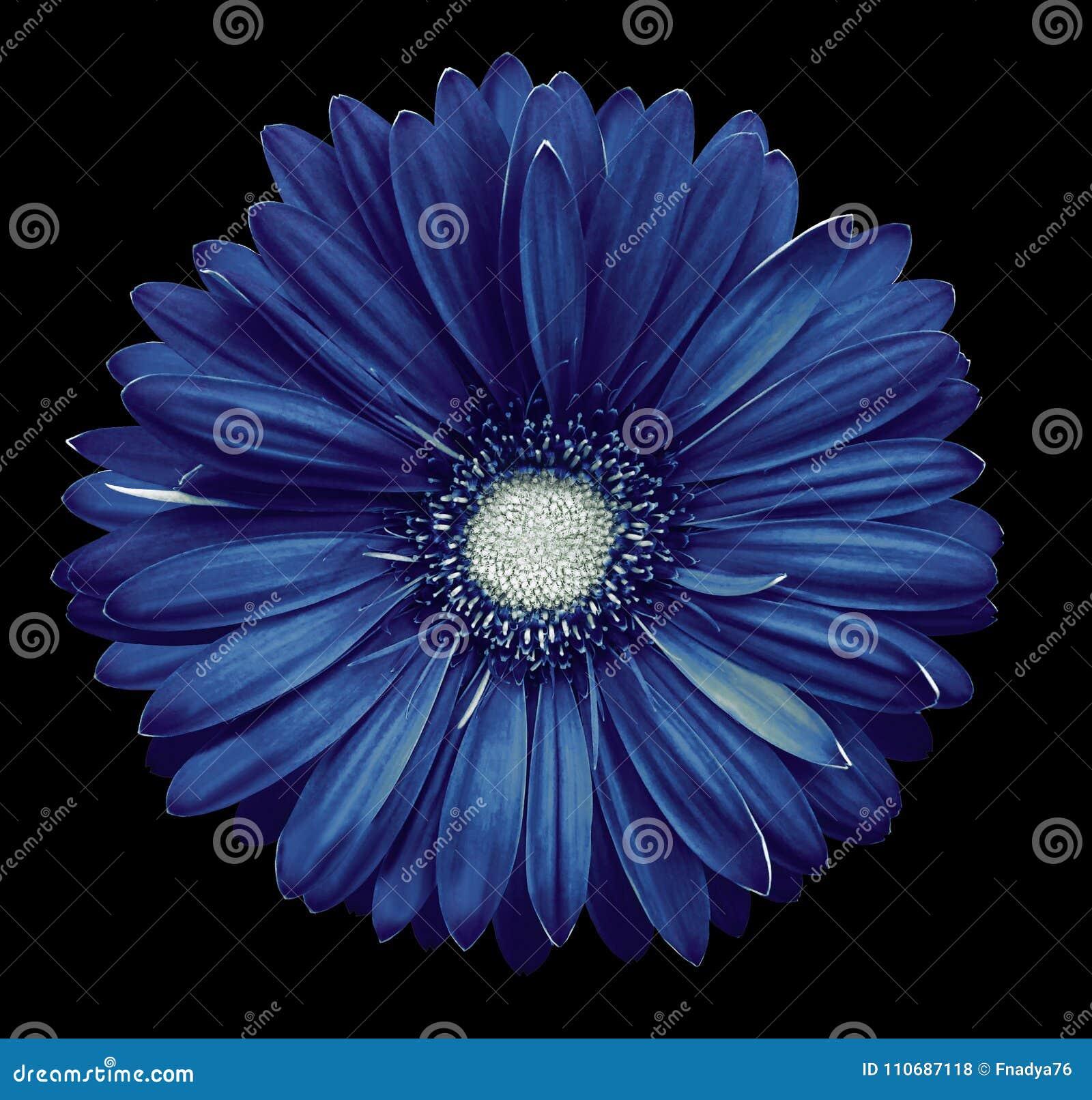 La Fleur Blanc Bleu De Gerbera Noircissent Le Fond D Isolement Avec
