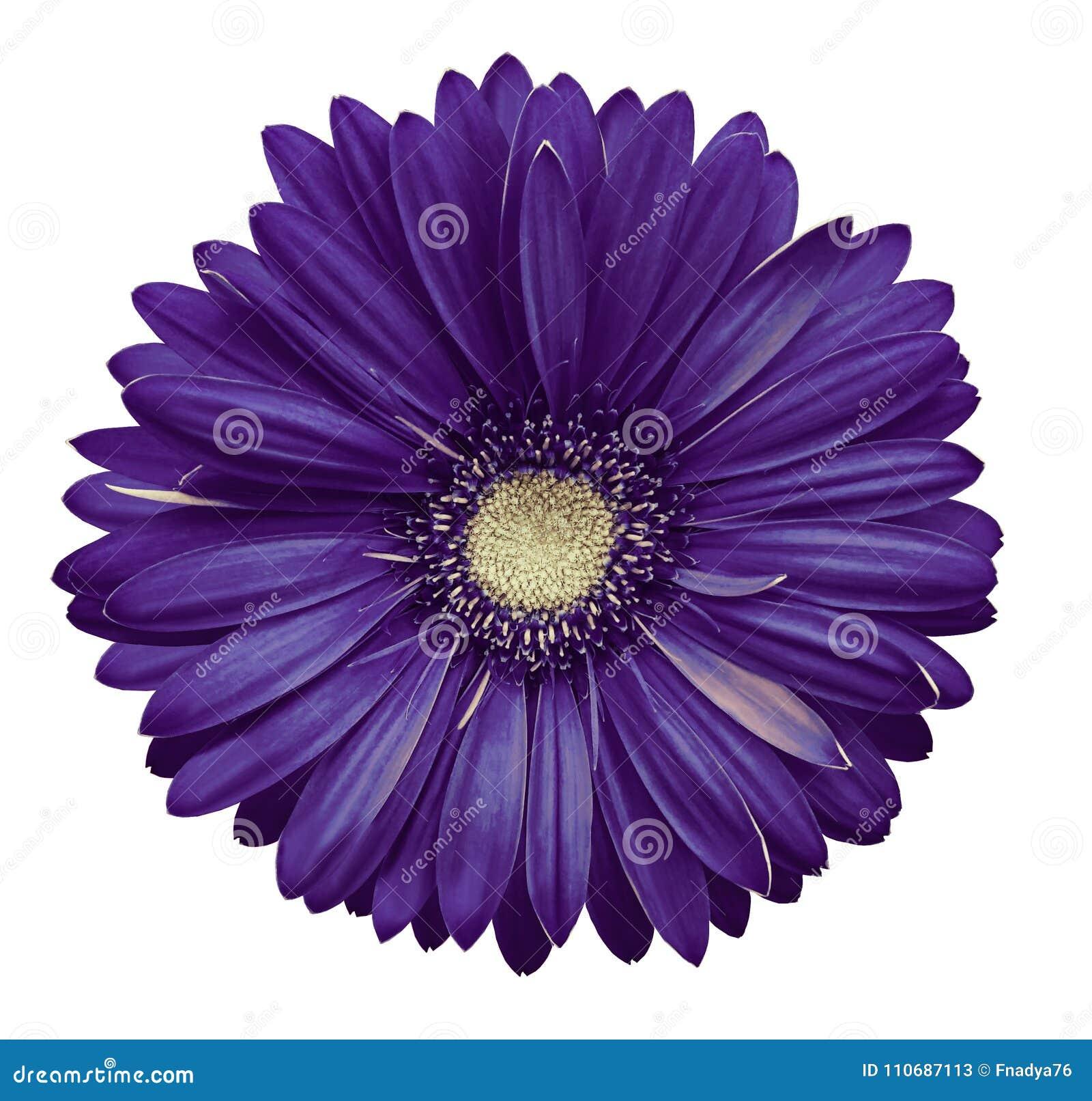 La fleur blanc violet de gerbera, blanc a isolé le fond avec le chemin de coupure closeup Aucune ombres Pour la conception