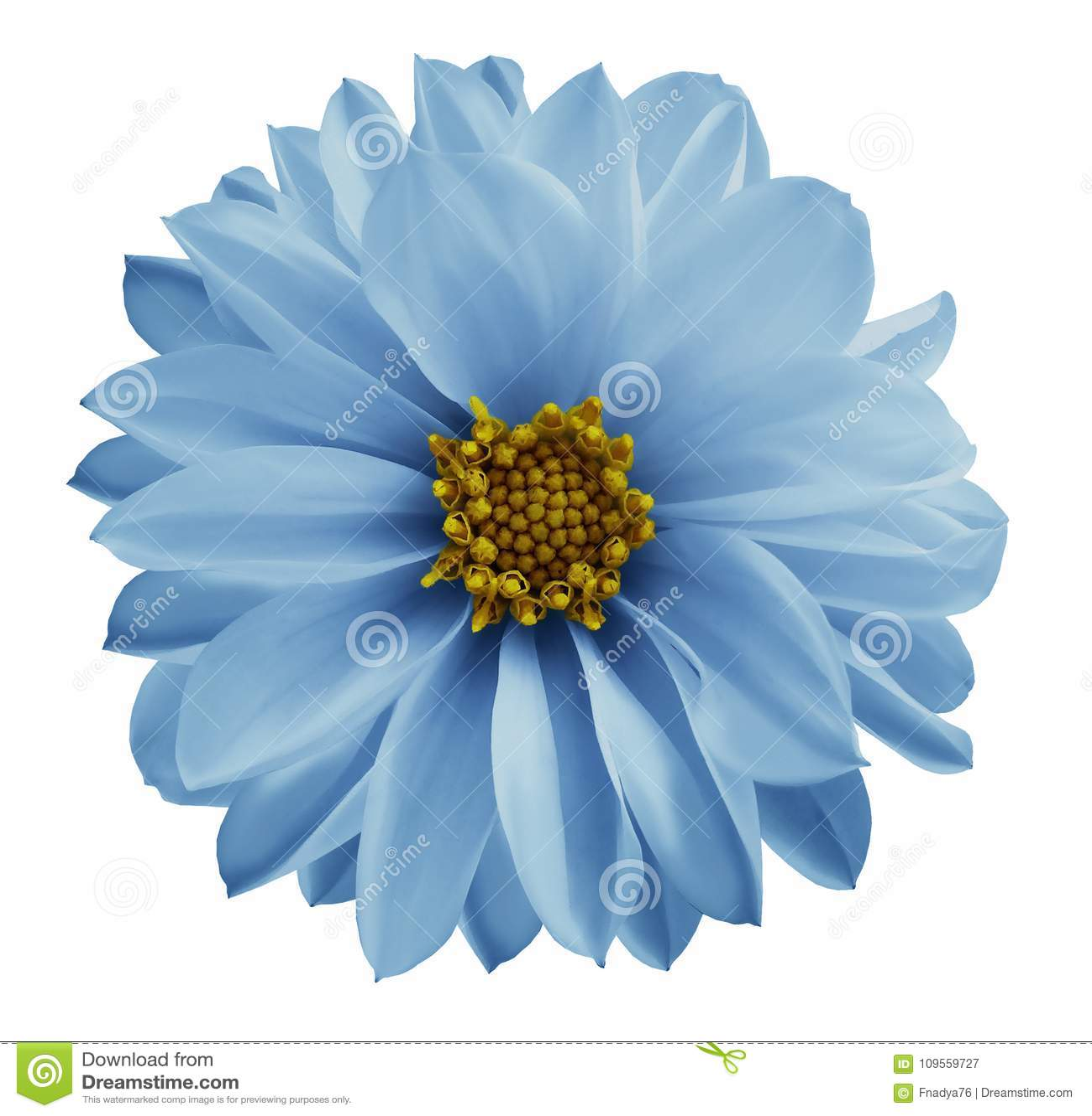 La fleur bleu-clair de dahlia sur un blanc a isolé le fond avec le chemin de coupure Plan rapproché aucune ombres Fleur de jardin