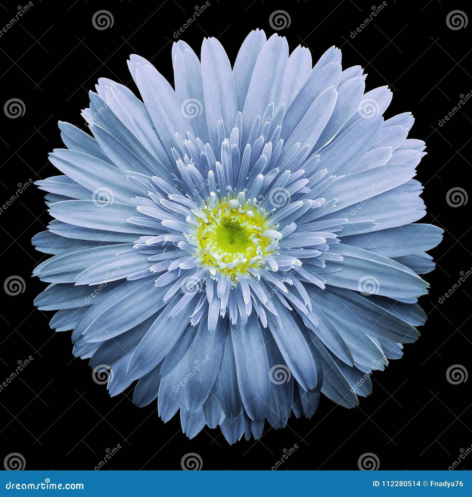 La Fleur Bleu Clair De Gerbera Sur Le Noir A Isole Le Fond Avec Le