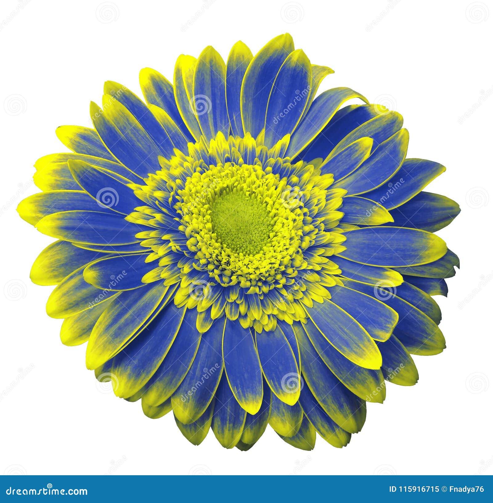 La Fleur Bleu Jaune De Gerbera Sur Un Blanc A Isole Le Fond Avec Le