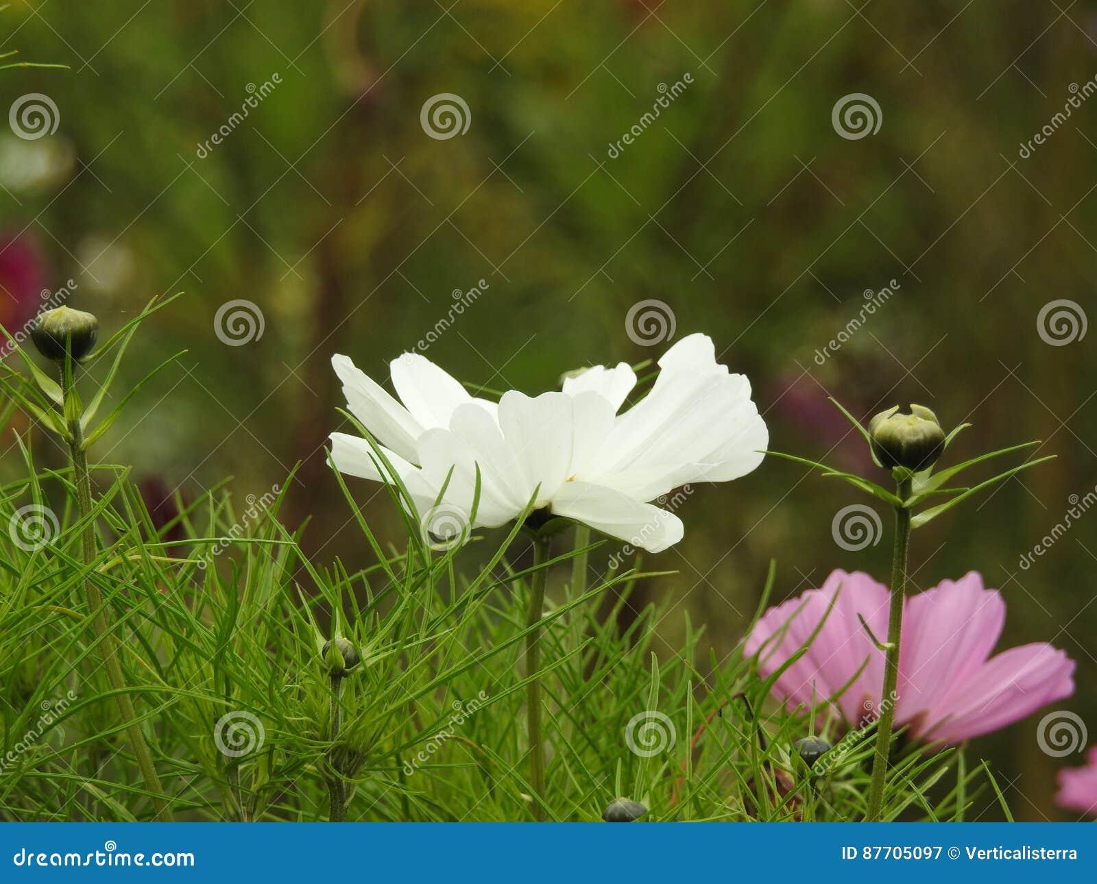 La fleur de cosmos est une usine sensible qui embellit facilement un jardin par ses nombreuses fleurs tout au long de l été