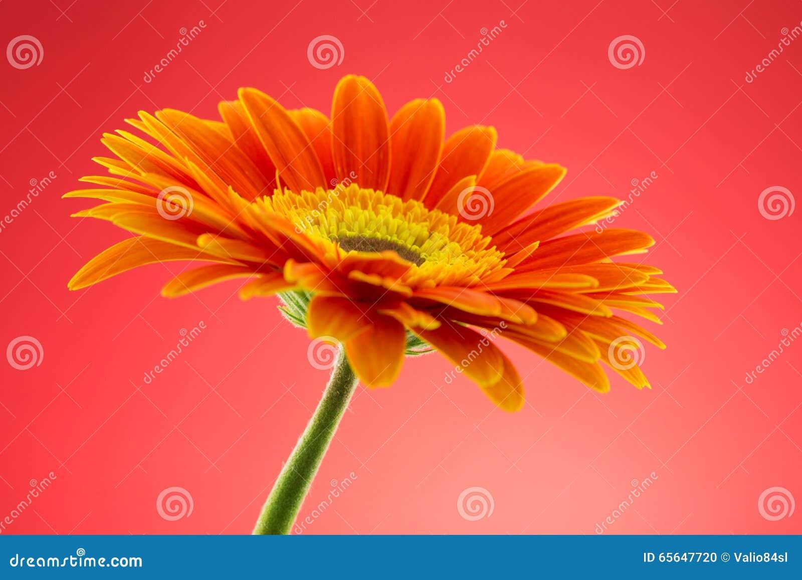 La fleur de Gerbera, se ferment