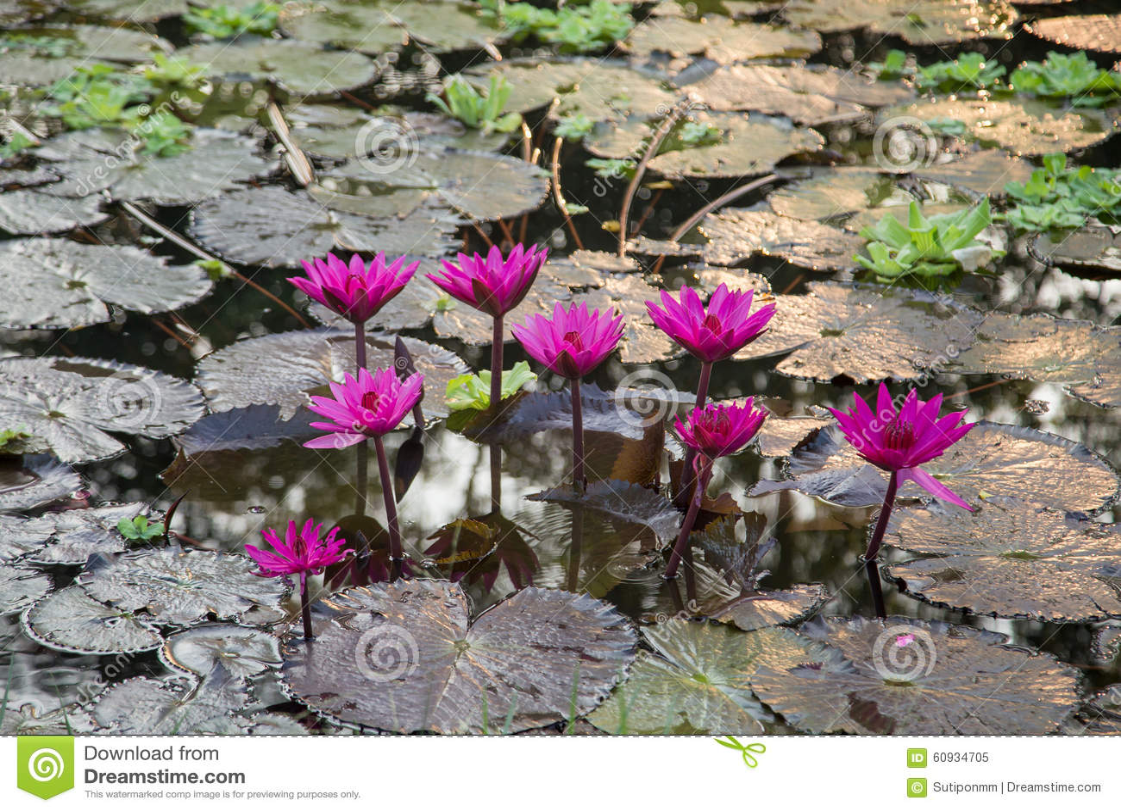 La fleur de lotus photo stock image 60934705 - La fleur de lotus ...