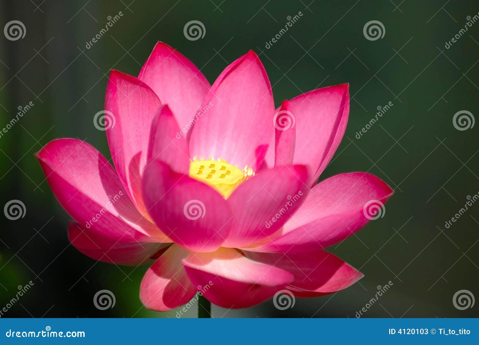 La fleur de lotus rose de floraison photos stock image 4120103 - La fleur de lotus ...