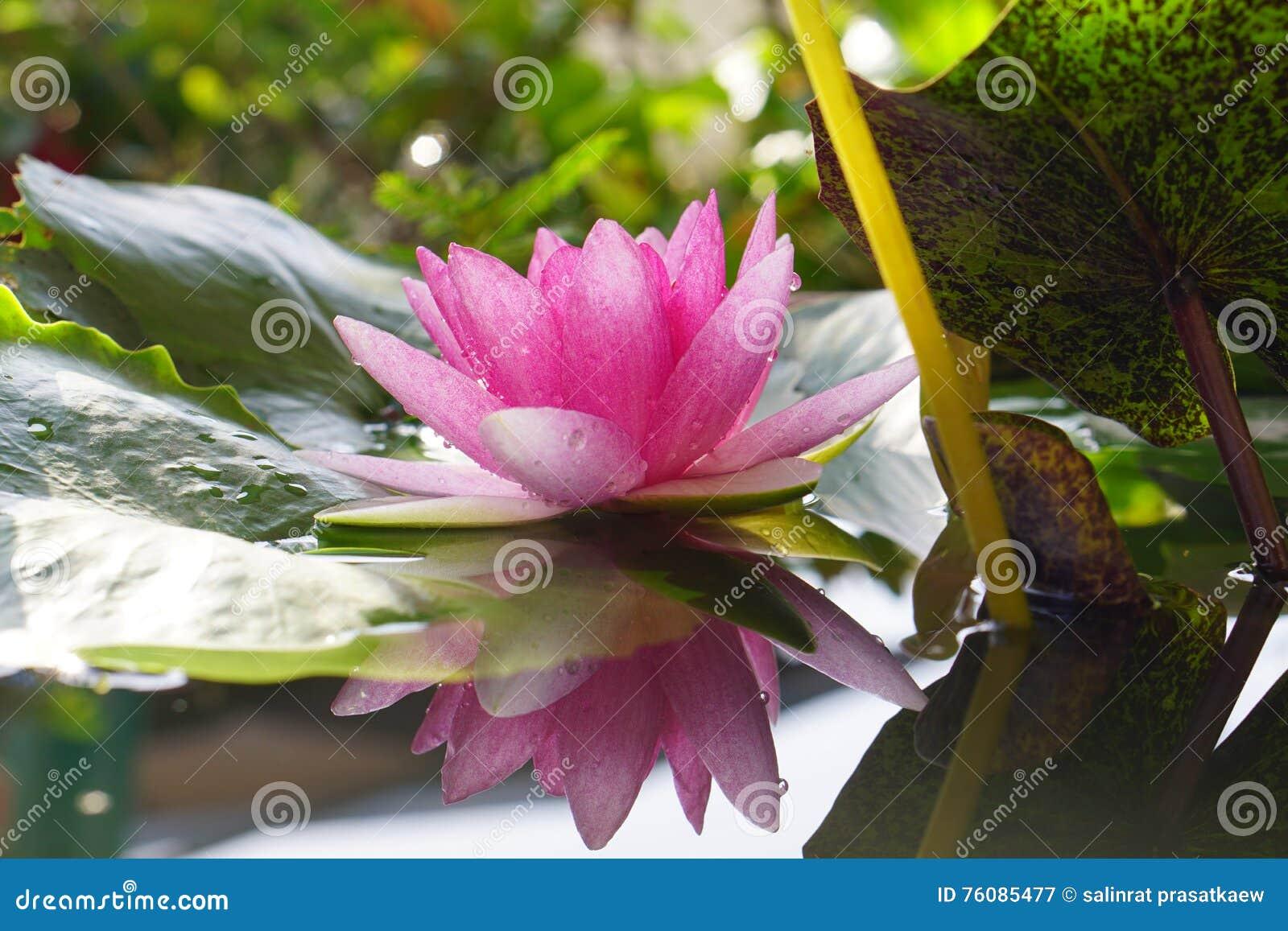 La fleur de Lotus rose fleurit sur le jardin