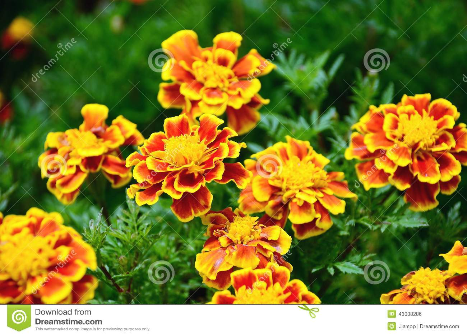 la fleur jaune et rouge dans le jardin a brill au soleil. Black Bedroom Furniture Sets. Home Design Ideas