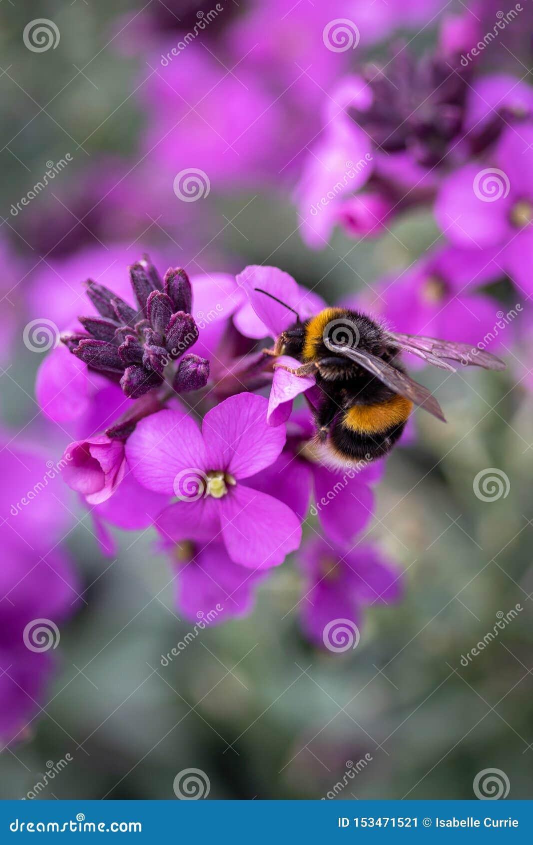 La fleur pourpre avec gaffent l abeille