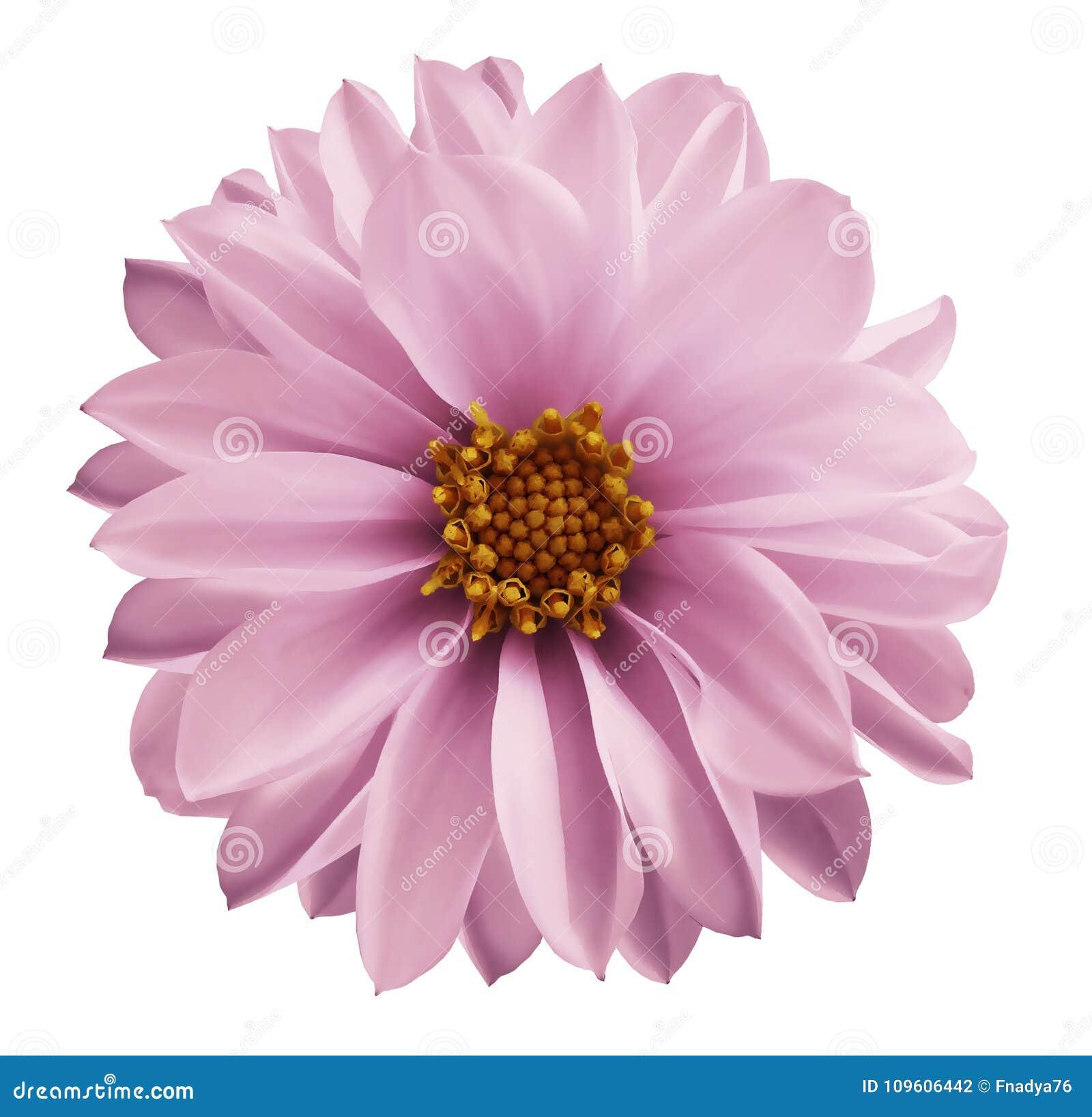 La fleur rose-clair de dahlia sur un blanc a isolé le fond avec le chemin de coupure Plan rapproché aucune ombres Fleur de jardin