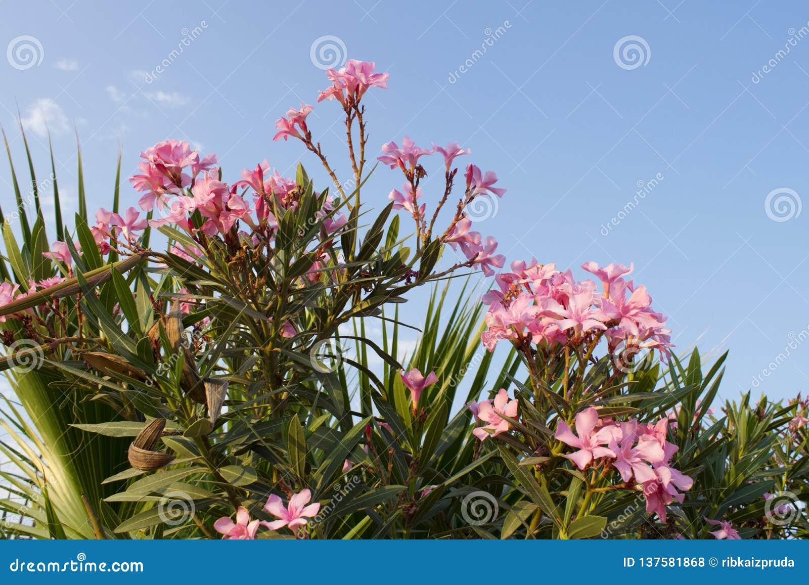 La fleur rose d oléandre ou s est levée oléandre parfumé de baie, oléandre de Nerium et feuilles de palmier contre le ciel bleu c