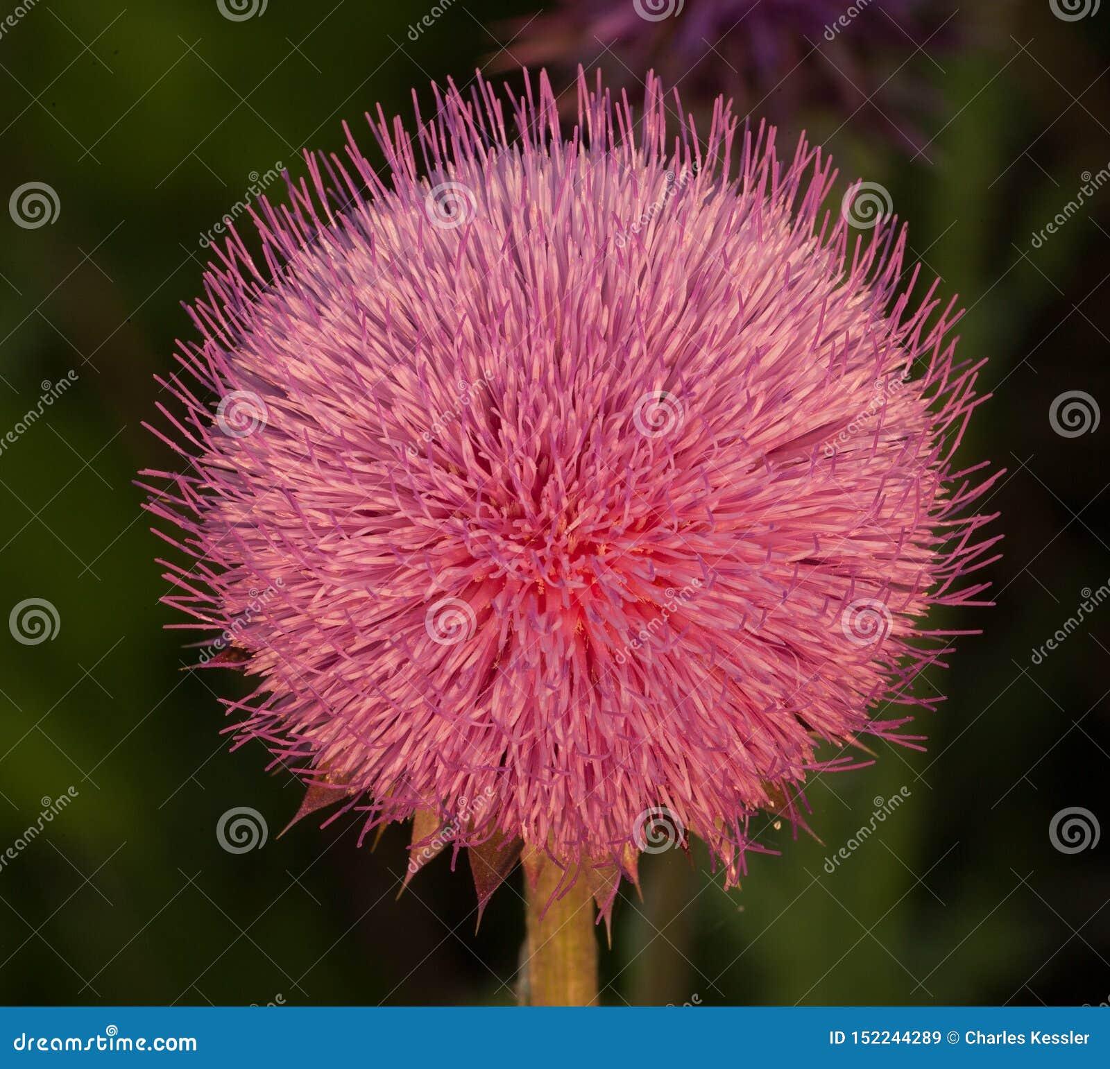 La fleur rose de chardon d inclination de tête brille dans le soleil d été