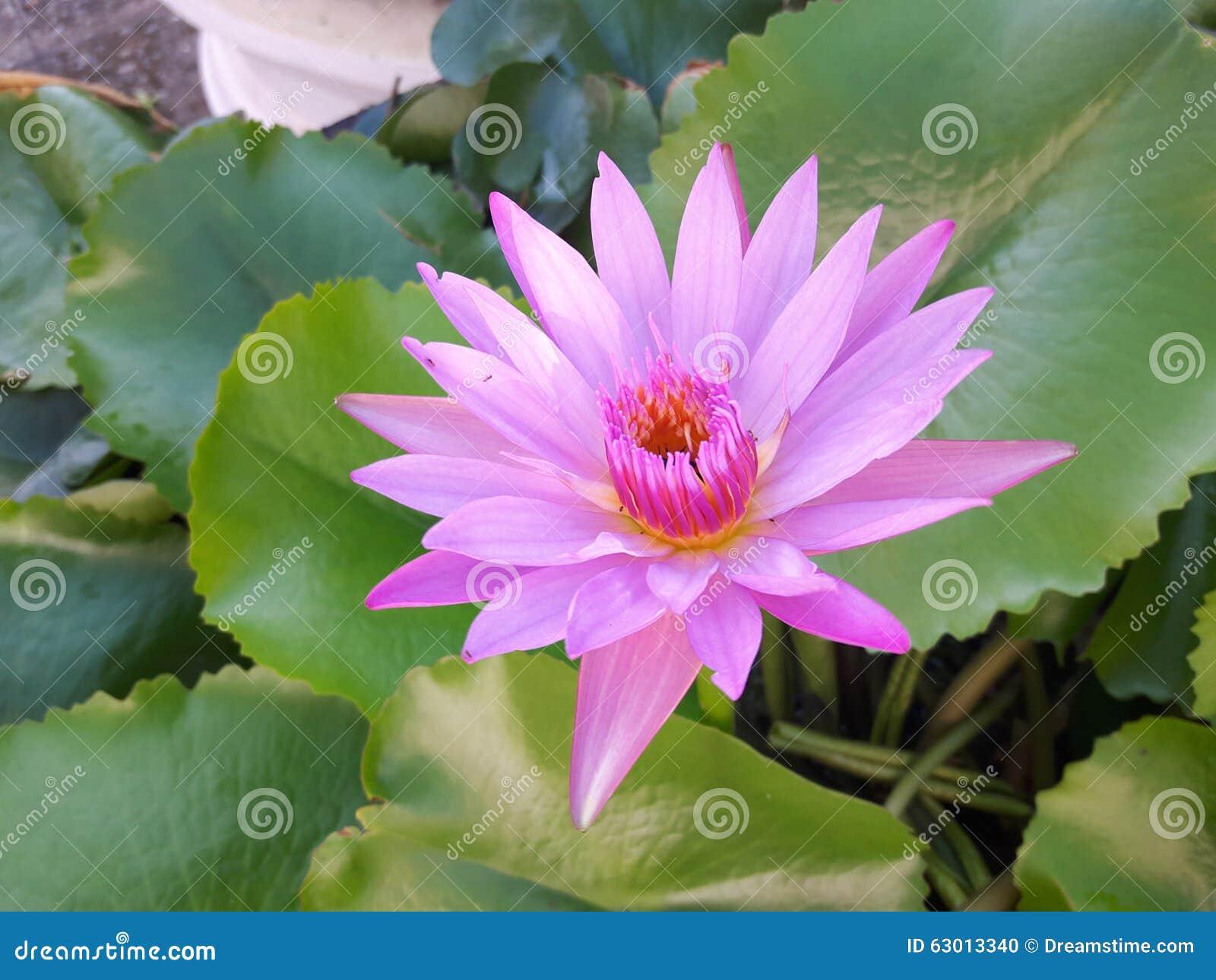 La fleur rose de lotus photo stock image 63013340 - La fleur de lotus ...