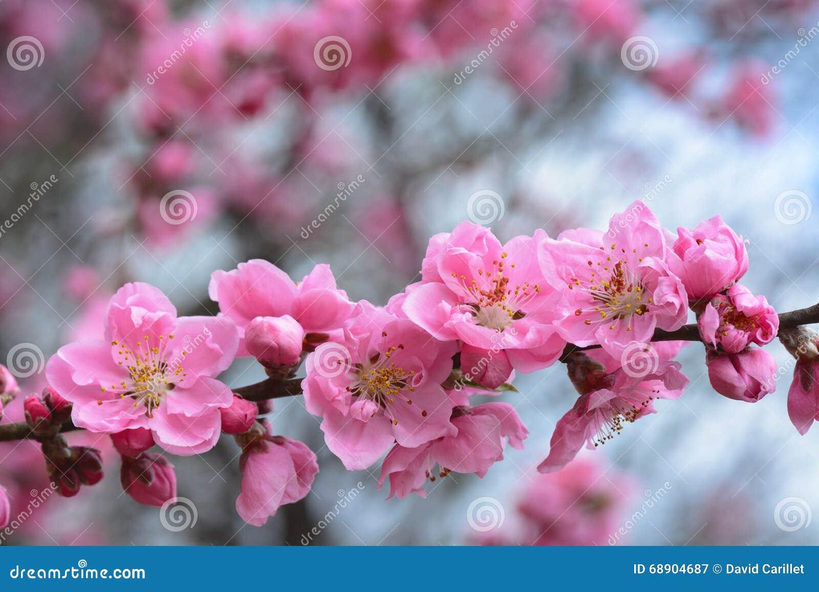 la fleur rose de p che fleurit sur un arbre au japon pendant le printemps 2016 photo stock. Black Bedroom Furniture Sets. Home Design Ideas