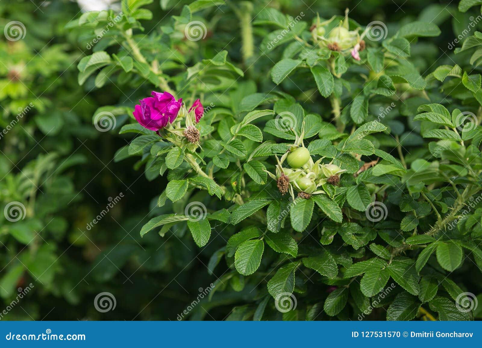 La fleur rose du rugosa de rosa s est levée
