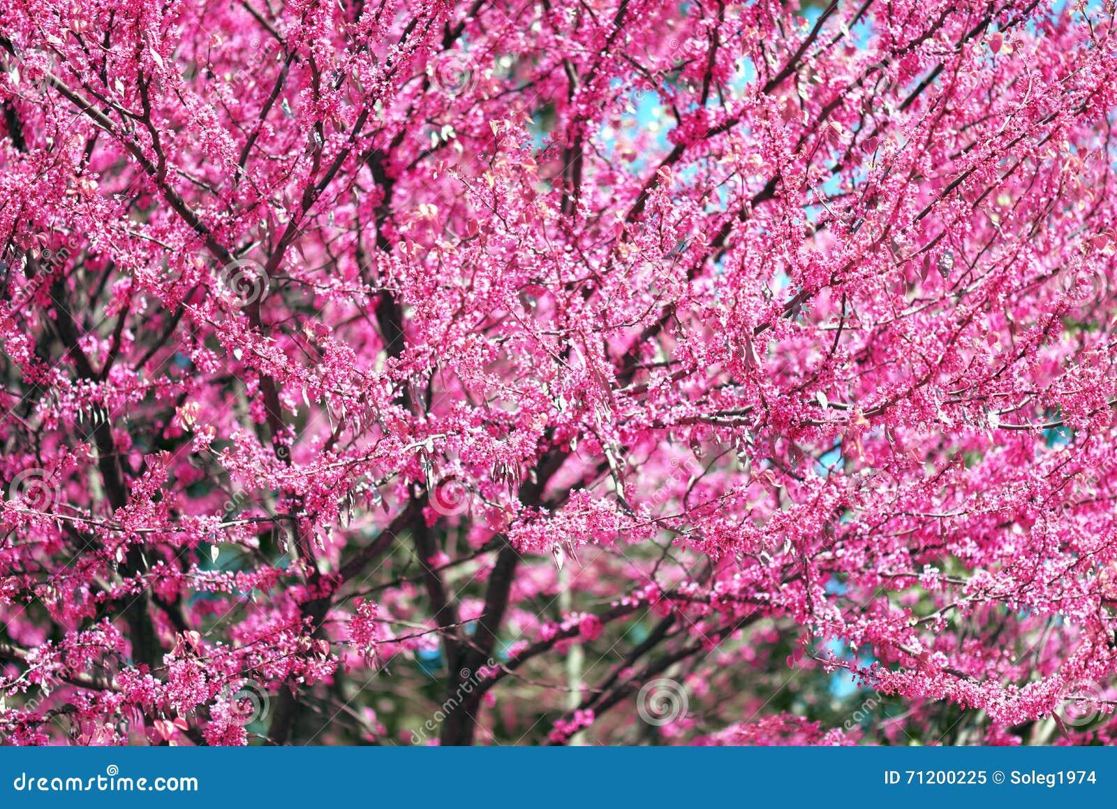 la fleur rose sur des branches d 39 arbre fleurit dans un jardin beau paysage de ressort au jour. Black Bedroom Furniture Sets. Home Design Ideas