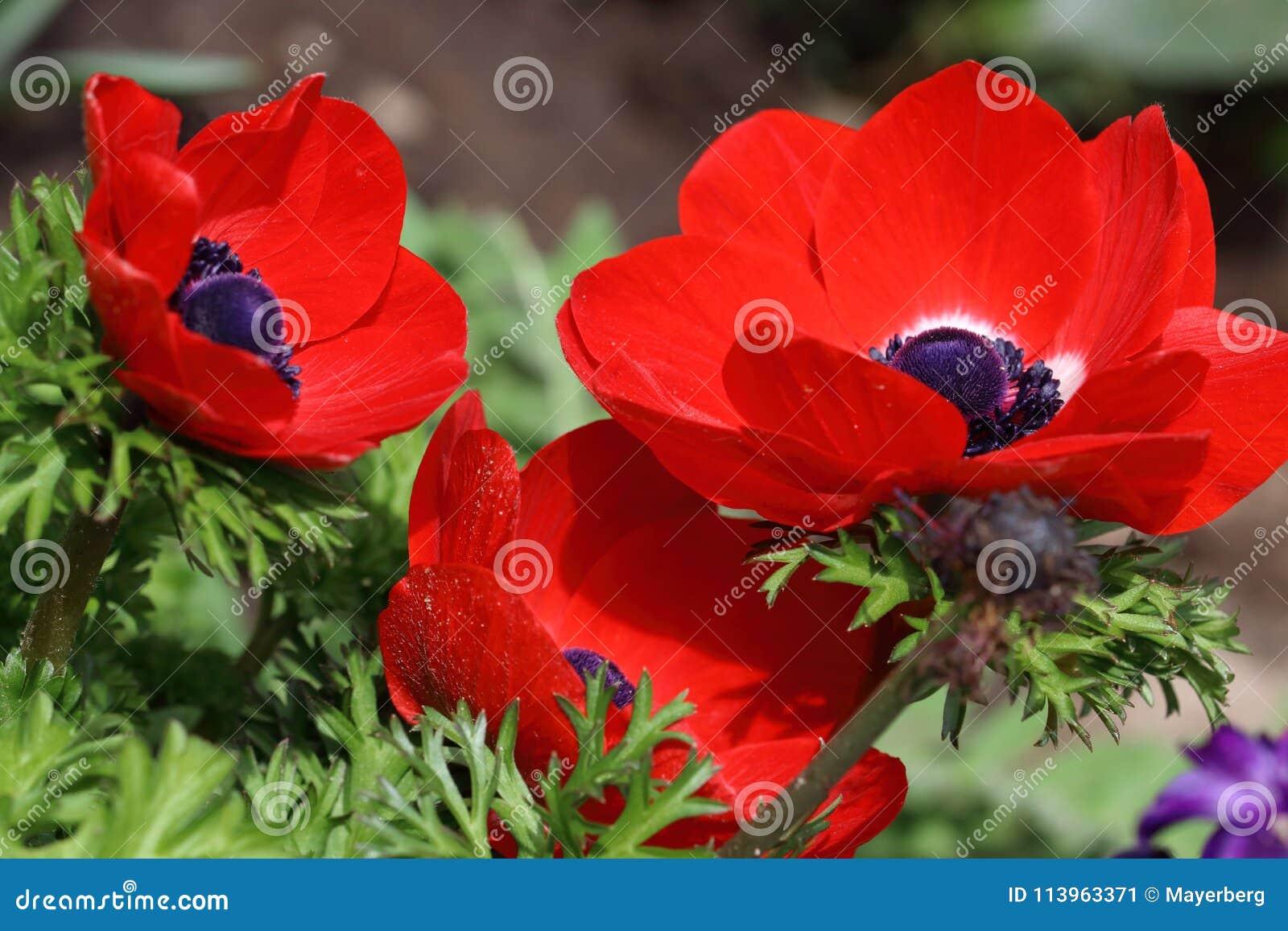 La Fleur Rouge D Anemone Avec Le Coeur Noir Image Stock Image Du