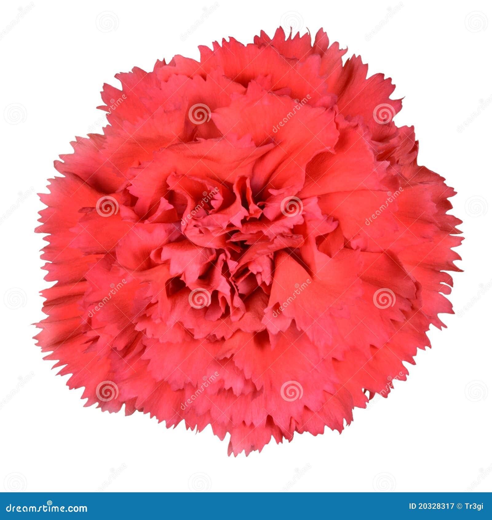 fleur rouge et blanche d'oeillet d'isolement photos stock - image
