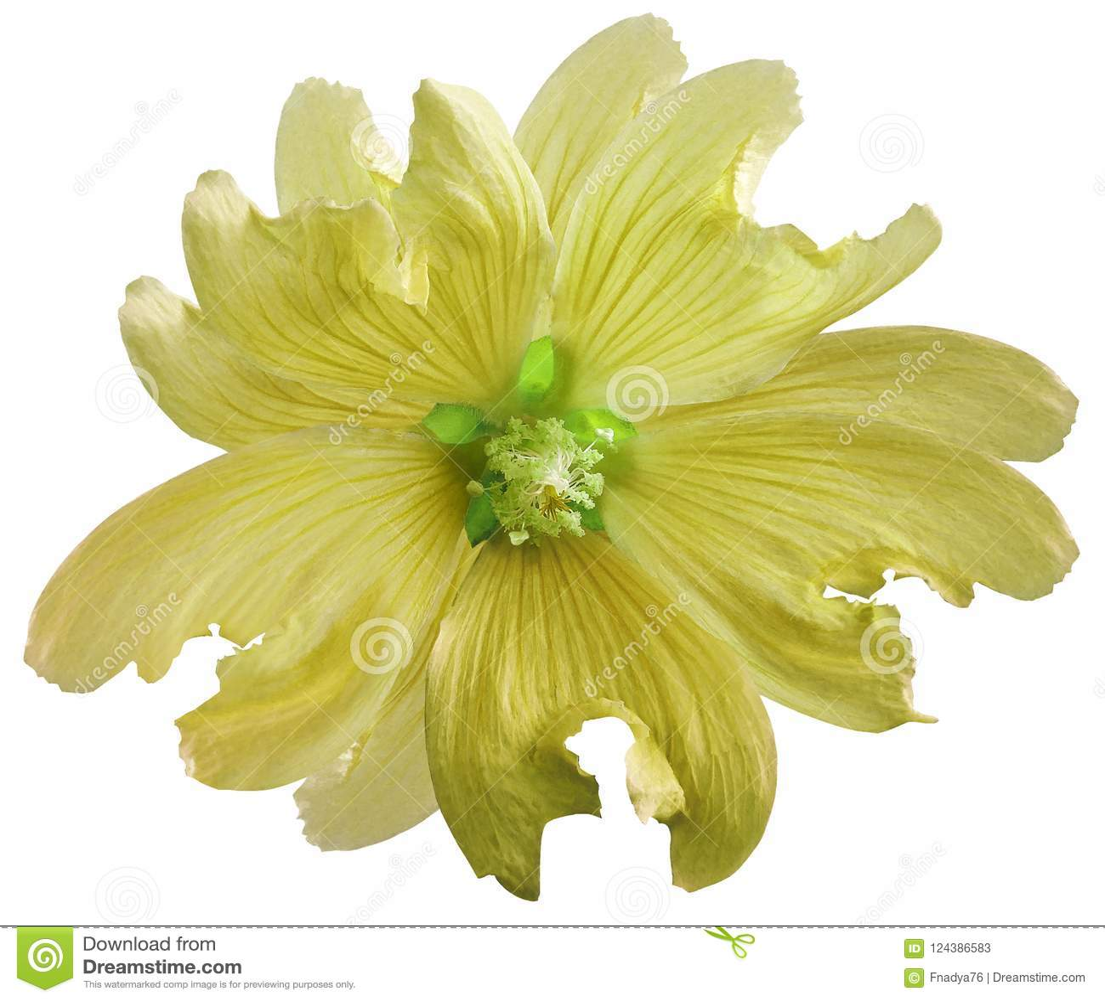 La fleur sauvage jaune de mauve sur un blanc a isolé le fond avec le chemin de coupure closeup Élément de conception