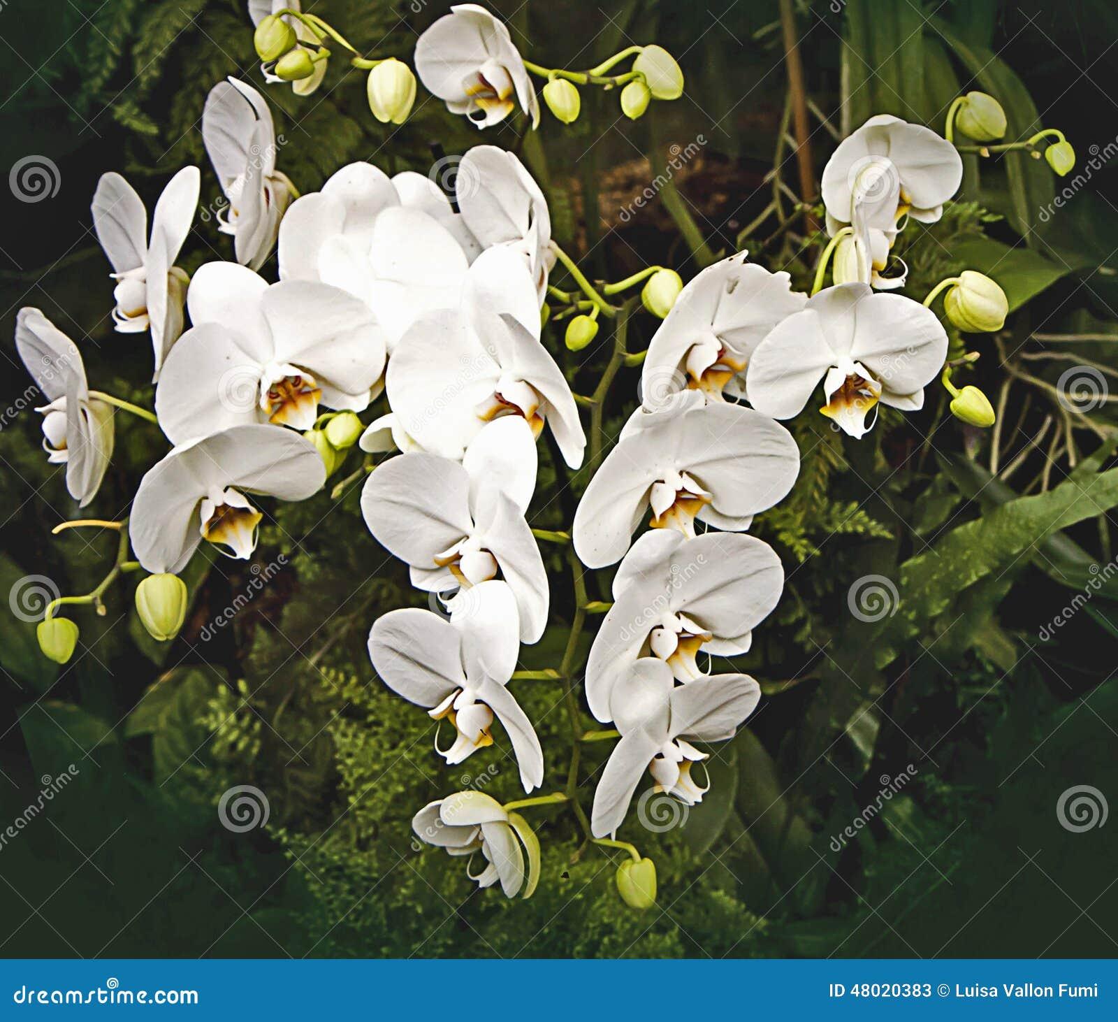 La Fleur Tropicale Blanche D Orchidee S Embranche Sur Le Fond Fonce