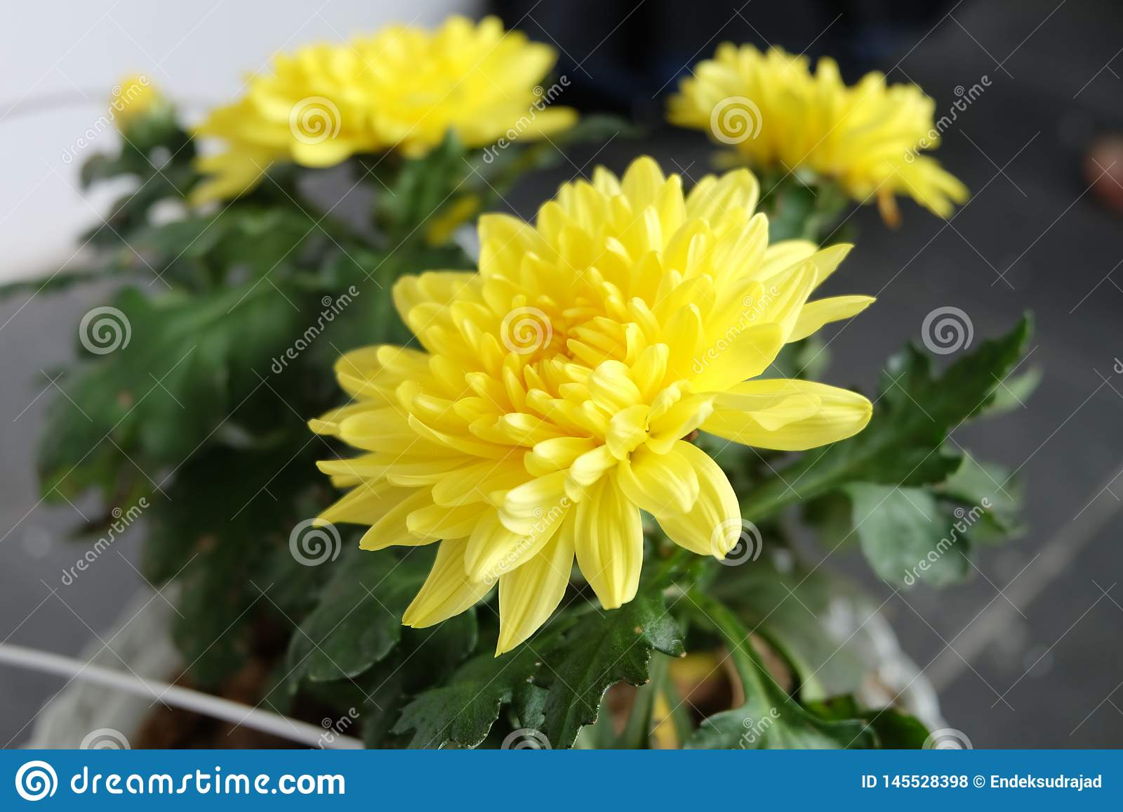 La flor amarilla floreciente hermosa