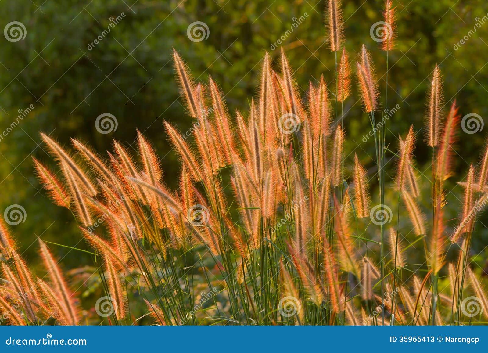 La flor de la hierba de oro de la hierba