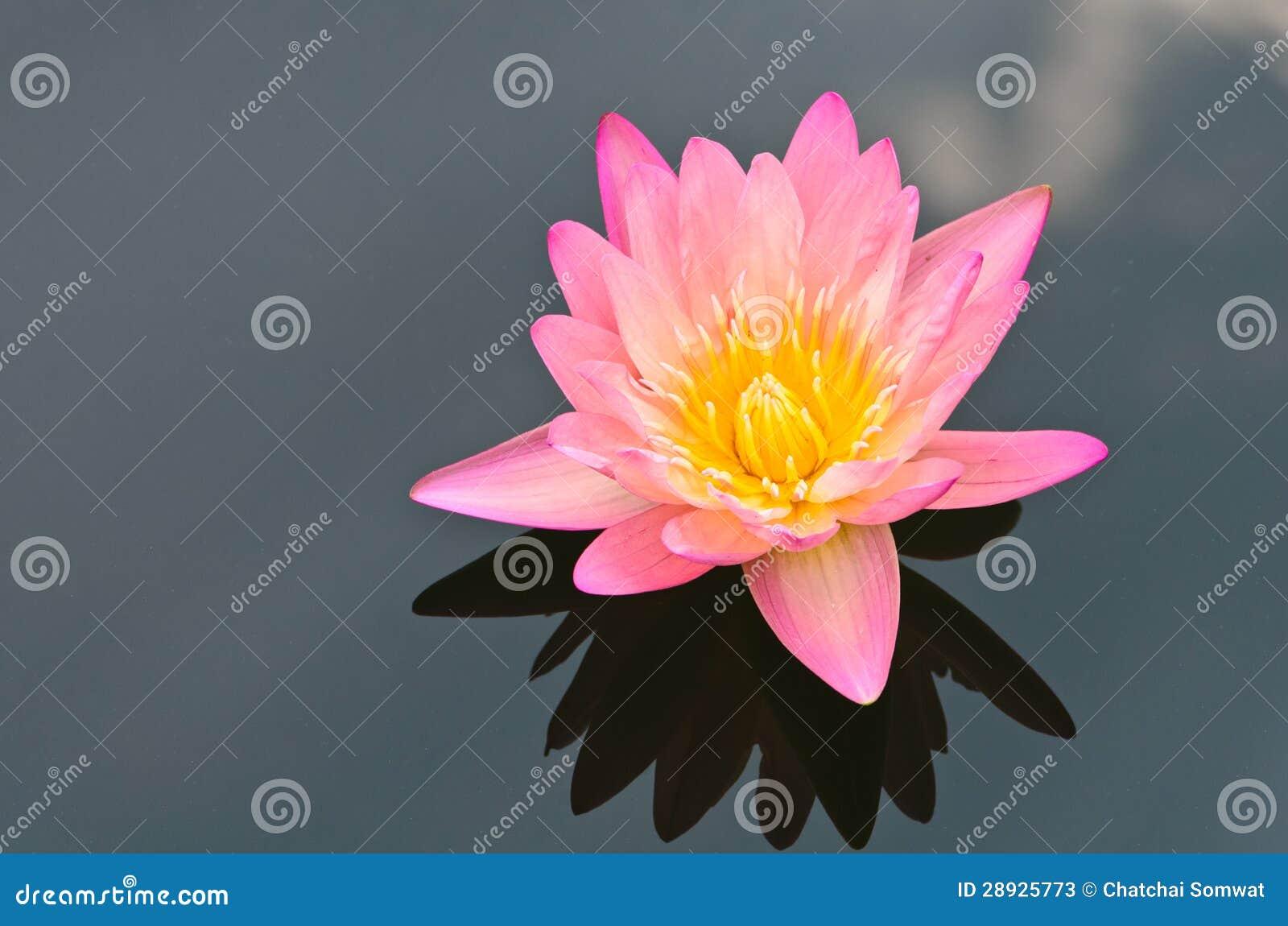 La flor de loto rosada.