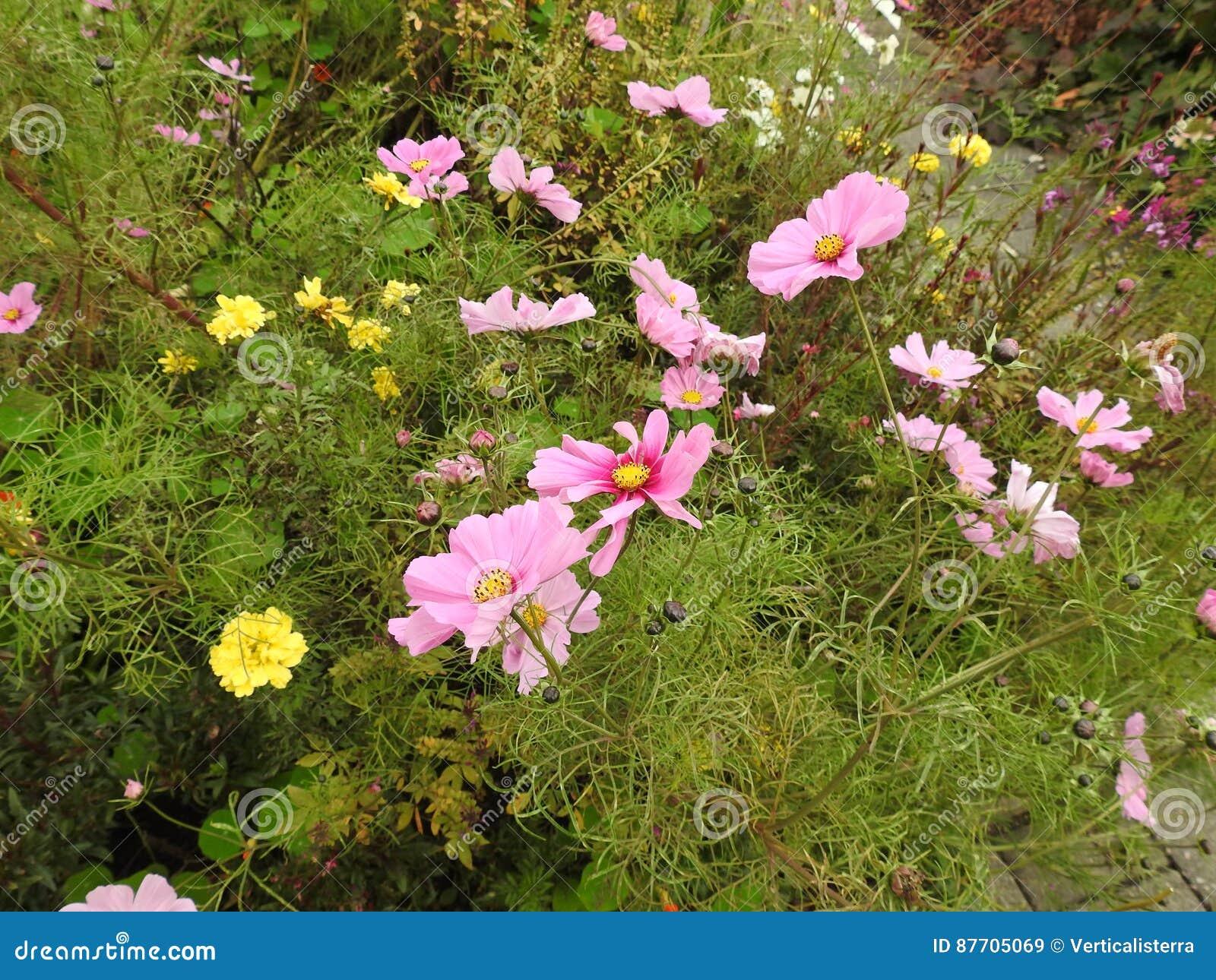 La flor del cosmos es una planta delicada que embellece fácilmente un jardín por sus numerosas flores en el verano