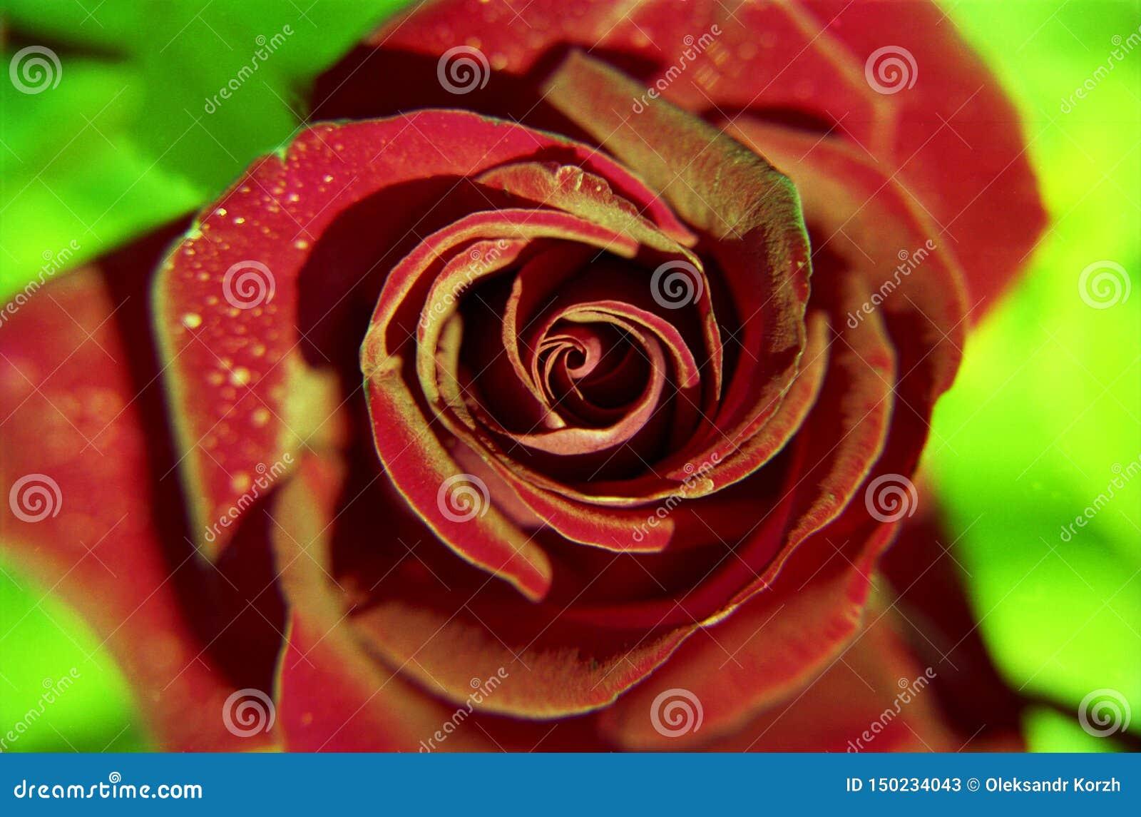 La flor floreciente subi? con las hojas verdes, naturaleza natural de vida, flora inusual del ramo del aroma