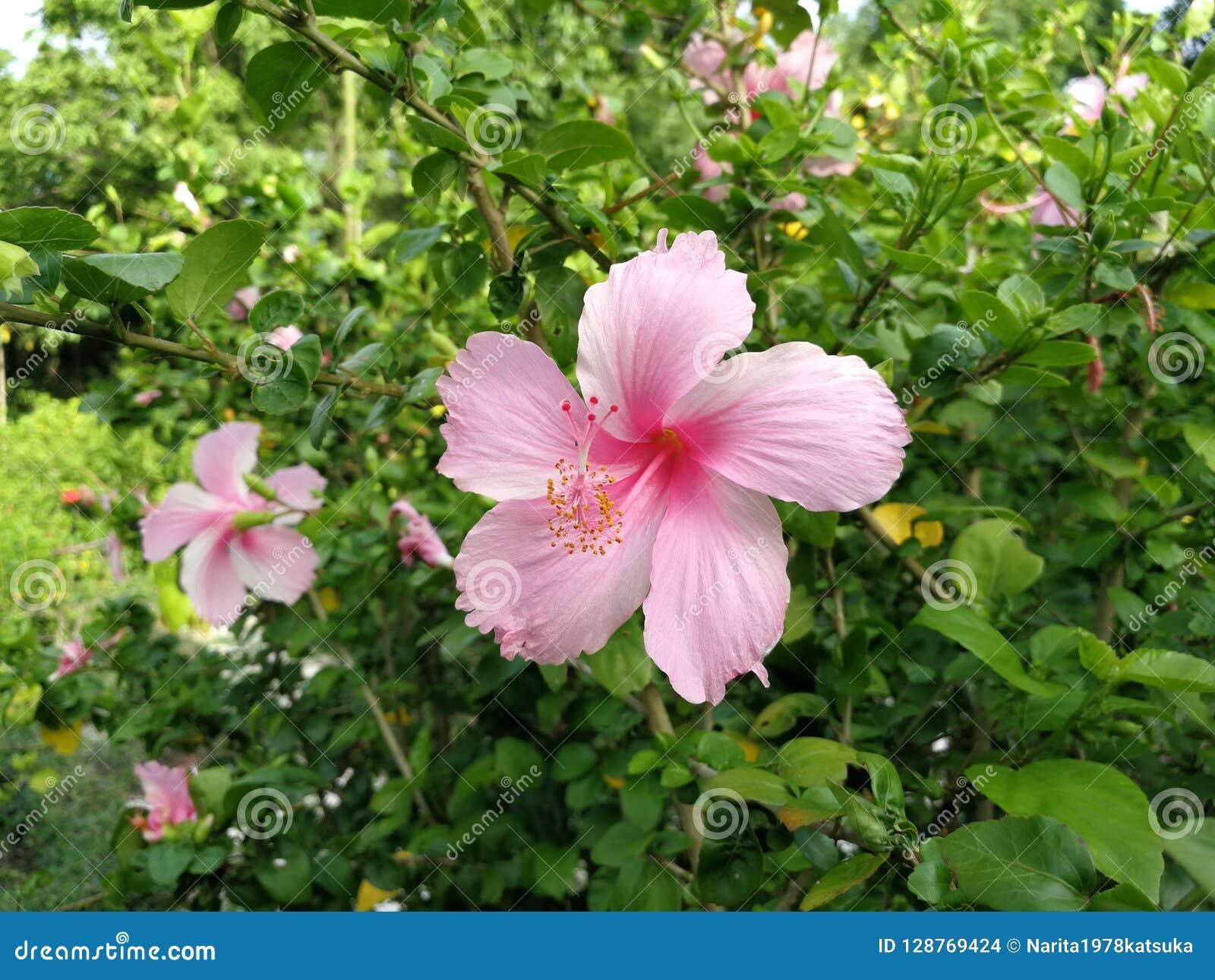 La En Flor Brillante Hibisco Púrpura Sale Verde Rosada Del tshdxrQC