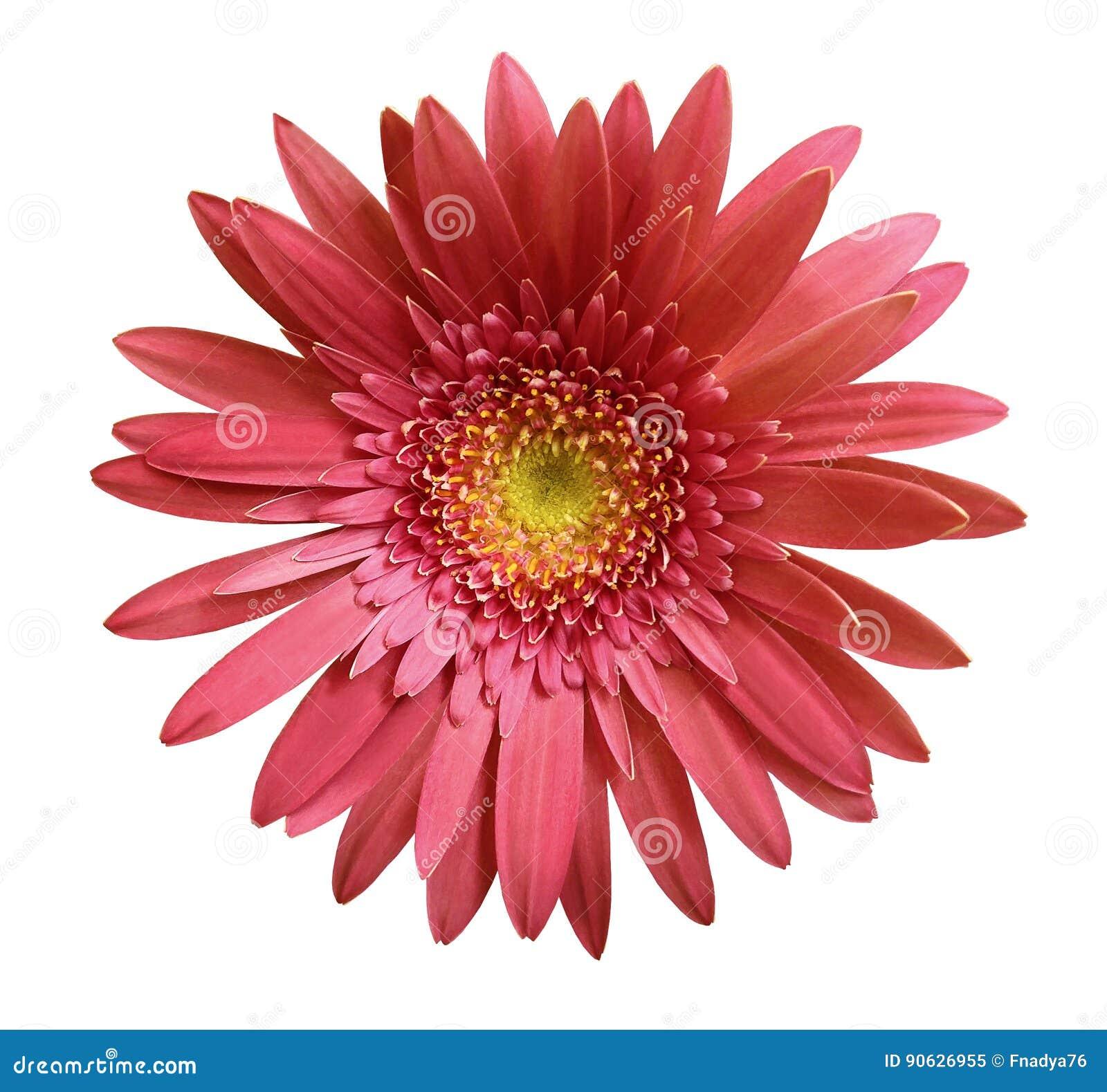 La flor rosada del gerbera en blanco aisló el fondo con la trayectoria de recortes primer Ningunas sombras Para el diseño