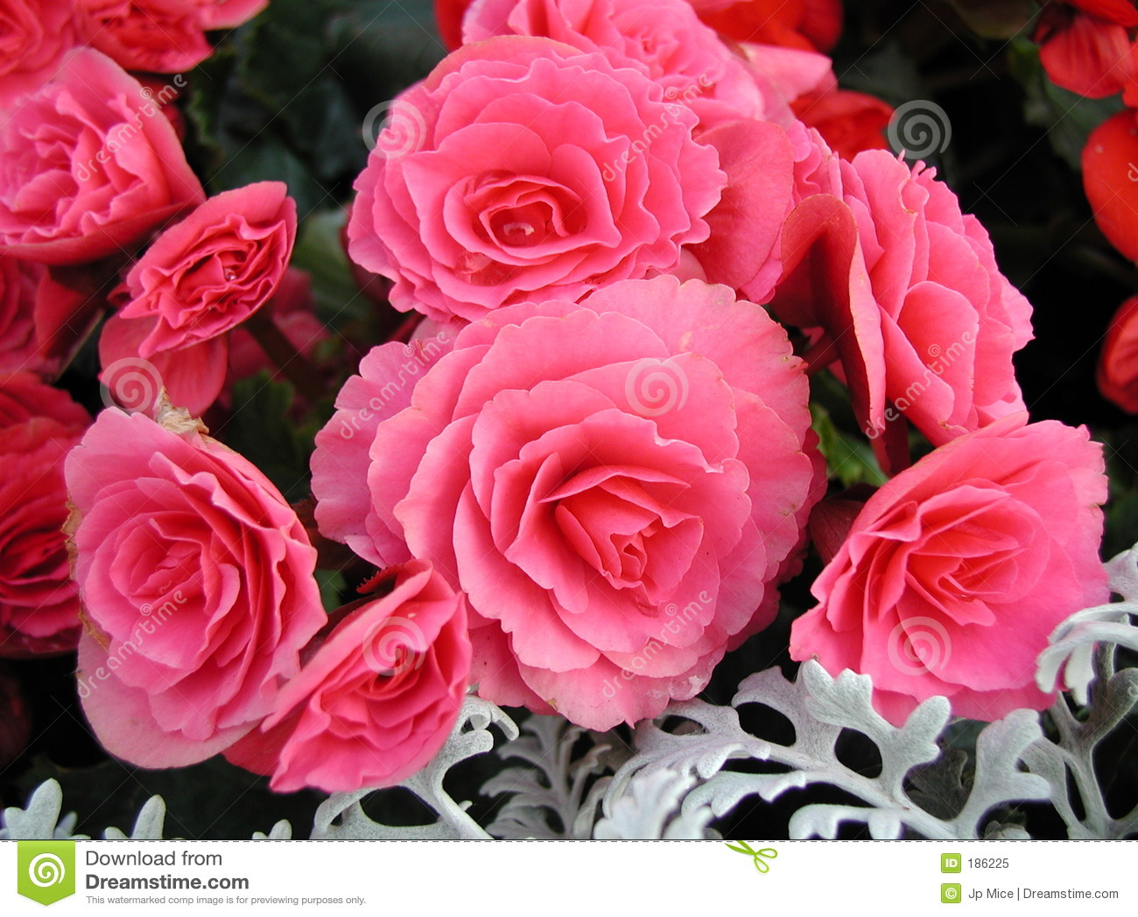 La flor rosada magnifica