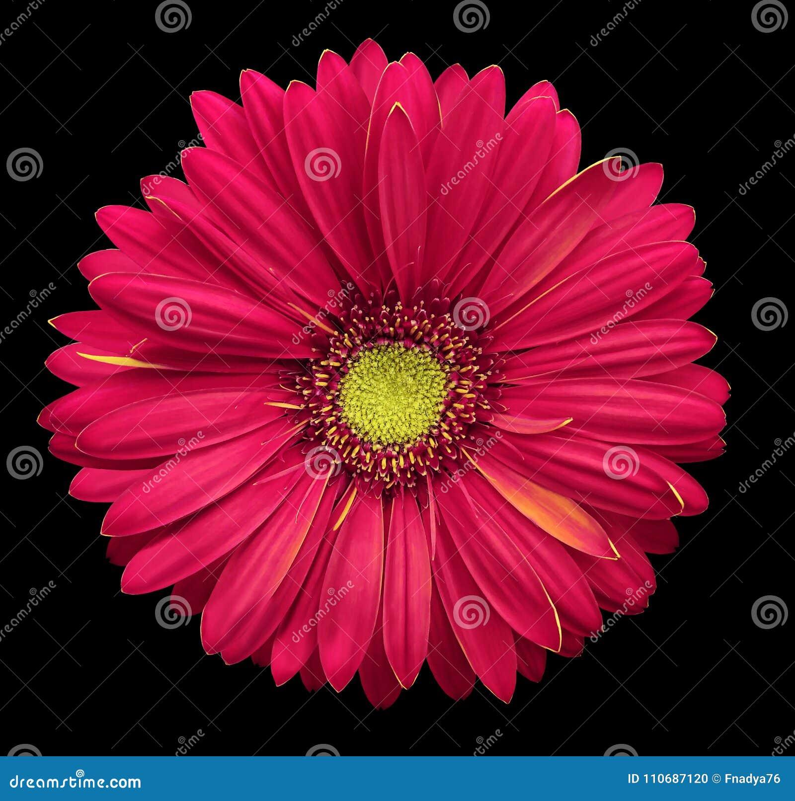 La flor Rosado-amarilla del gerbera, ennegrece el fondo aislado con la trayectoria de recortes primer Ningunas sombras Para el di