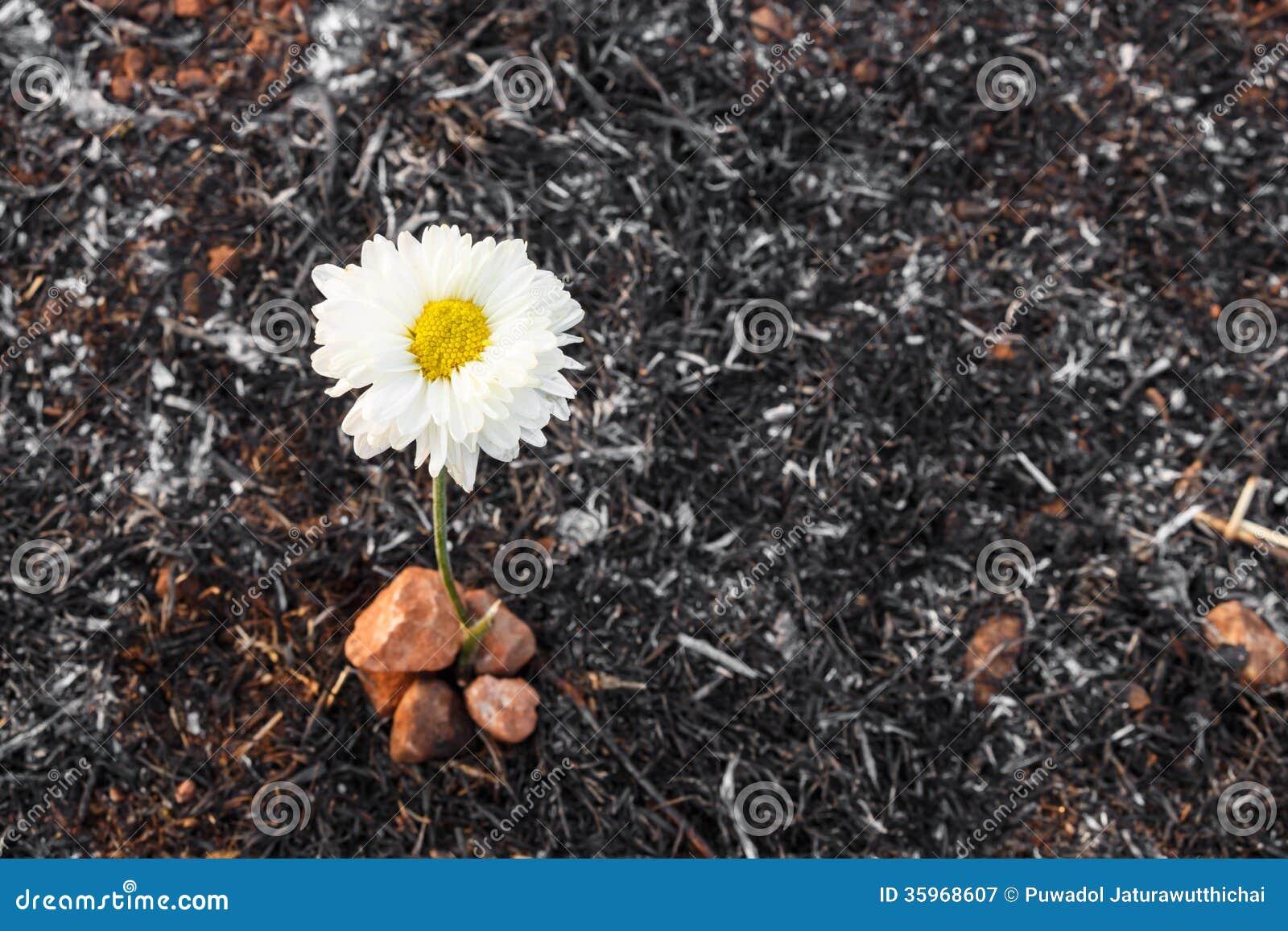 La flor sobrevive en la ceniza de la hierba quemada