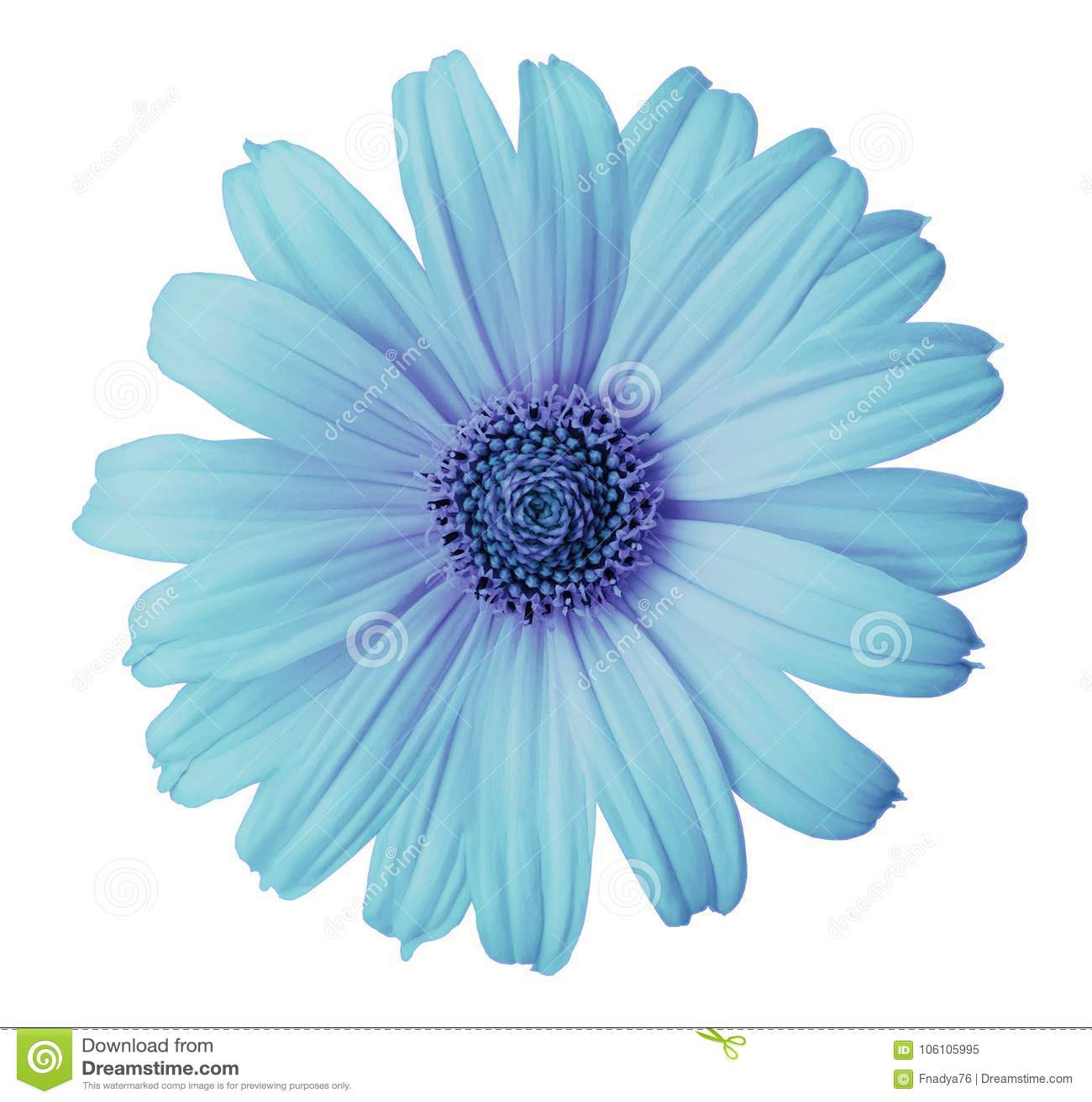 La flor Turquesa-violeta de la margarita en un blanco aisló el fondo con la trayectoria de recortes Florezca para el diseño, text